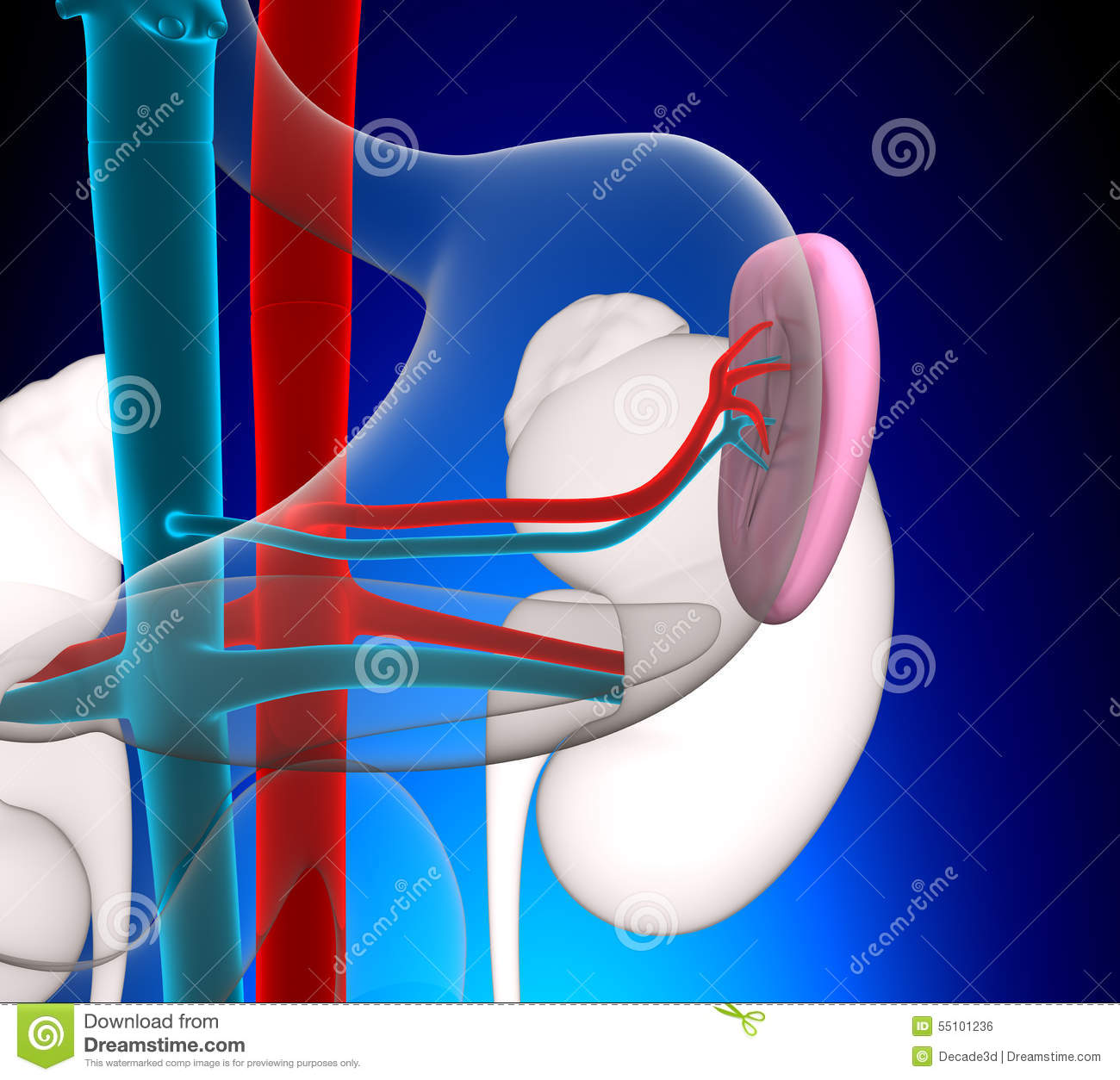 Spleen Human Anatomy With Circulatory System On Blue Background ...