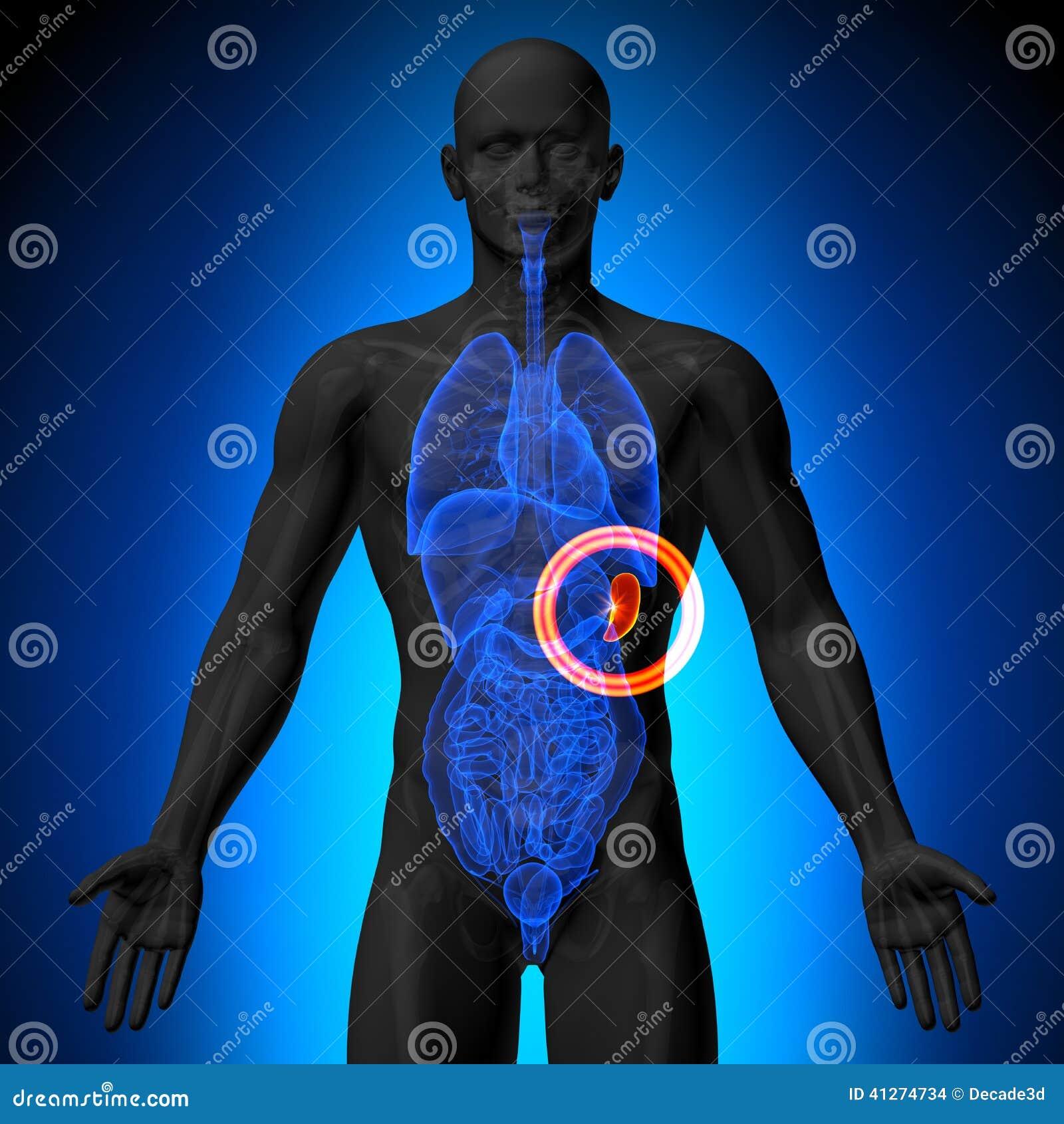 Spleen - Male anatomy of human organs - x-ray view