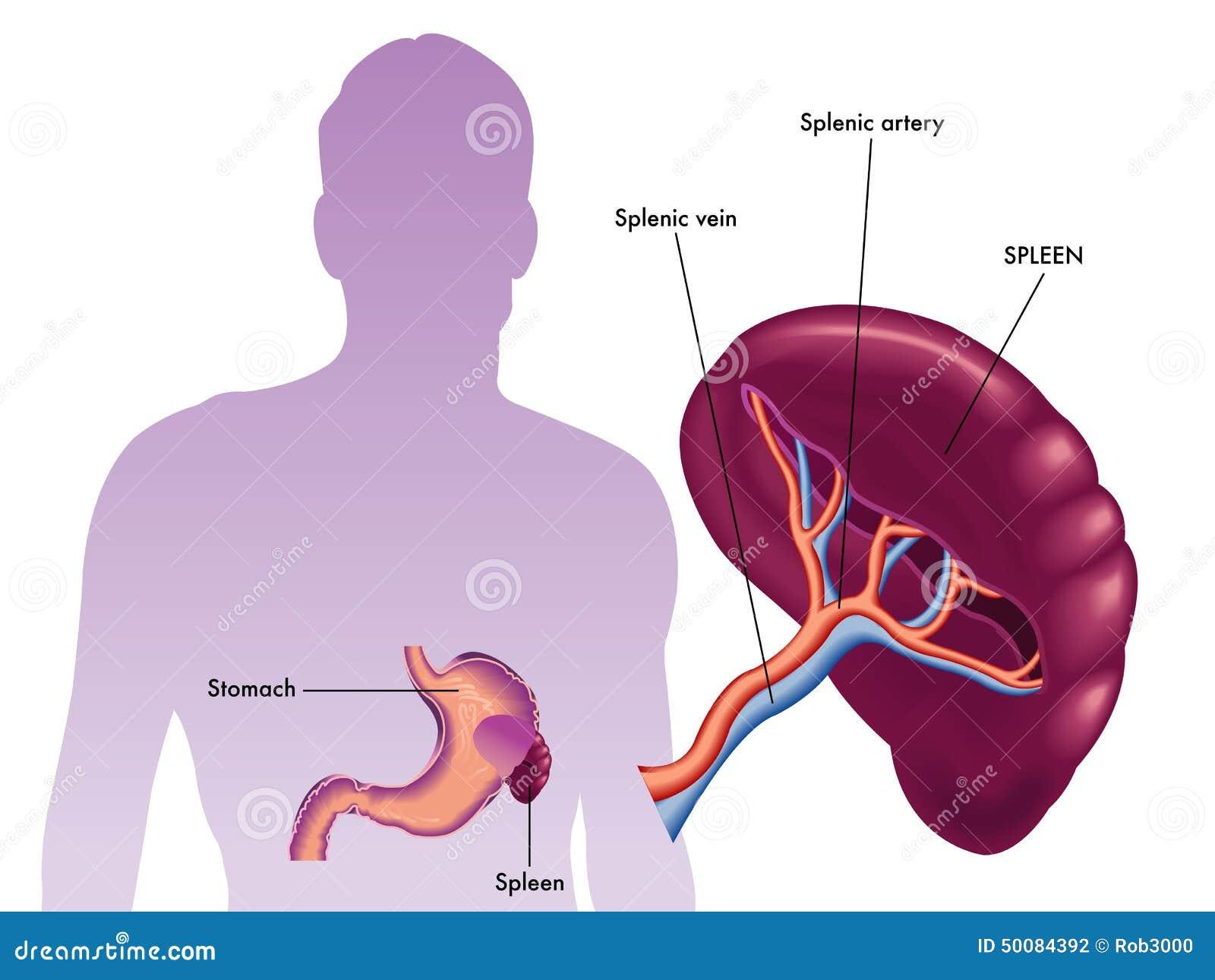 Spleen stock vector illustration of splenic filter 50084392 download comp ccuart Gallery