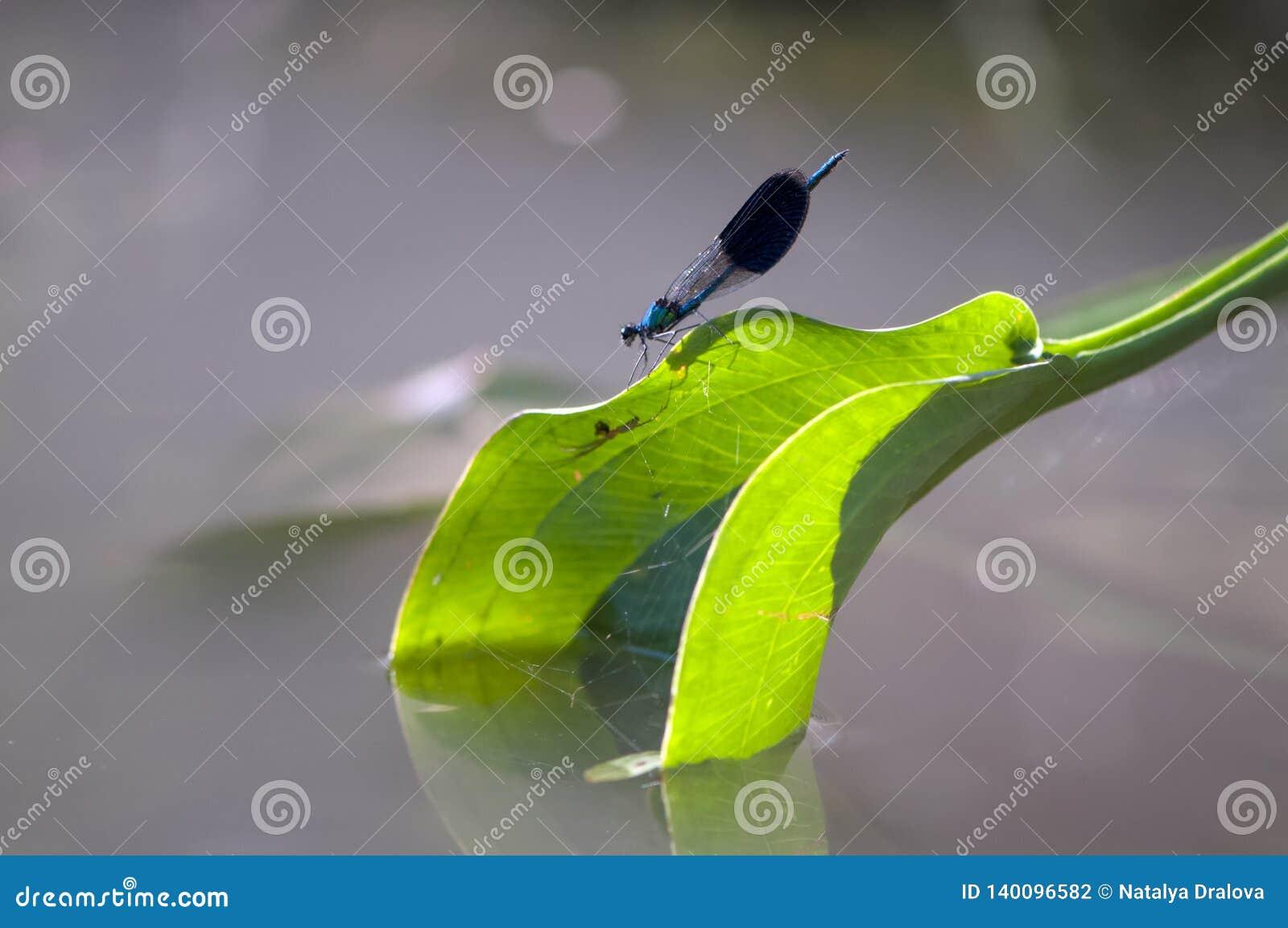 Splendens Calopterygidae Calopteryx Demoiselle
