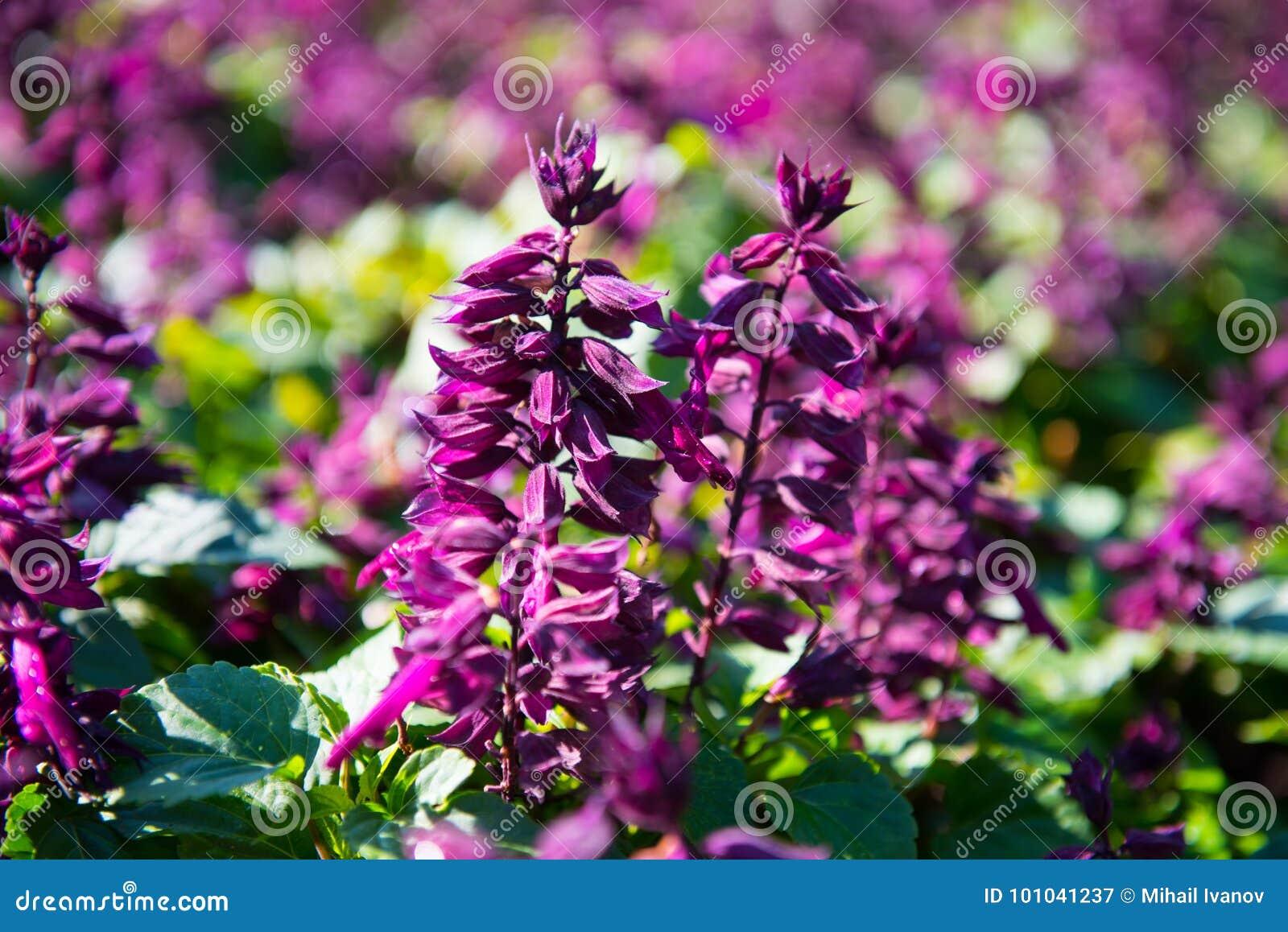 Splendens di Salvia