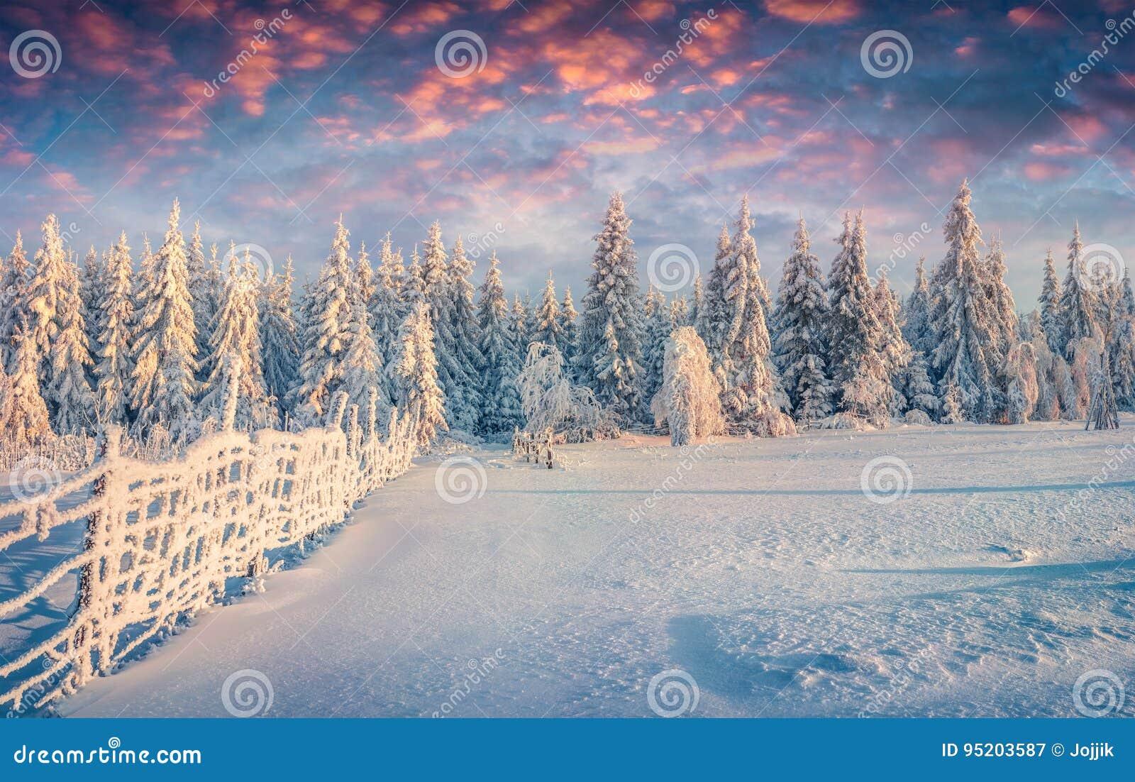 Splendid Christmas scene in the mountain forest at sunny morning