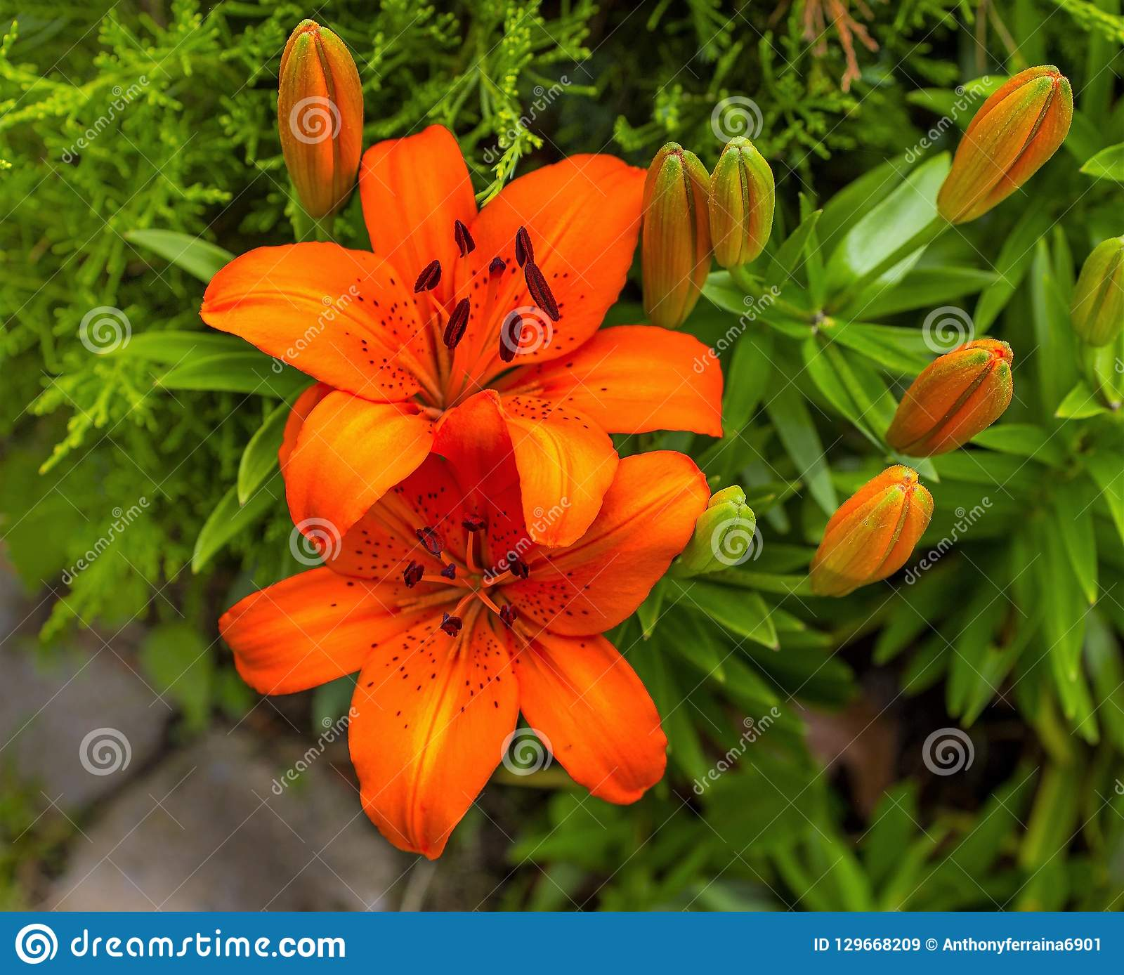 d698ae42cc8c8 Beautiful, Orange Lilly in full bloom in mid summer. The lily is a very  popular flower in South Jersey, it has bright vivid color and the buds are  large ...