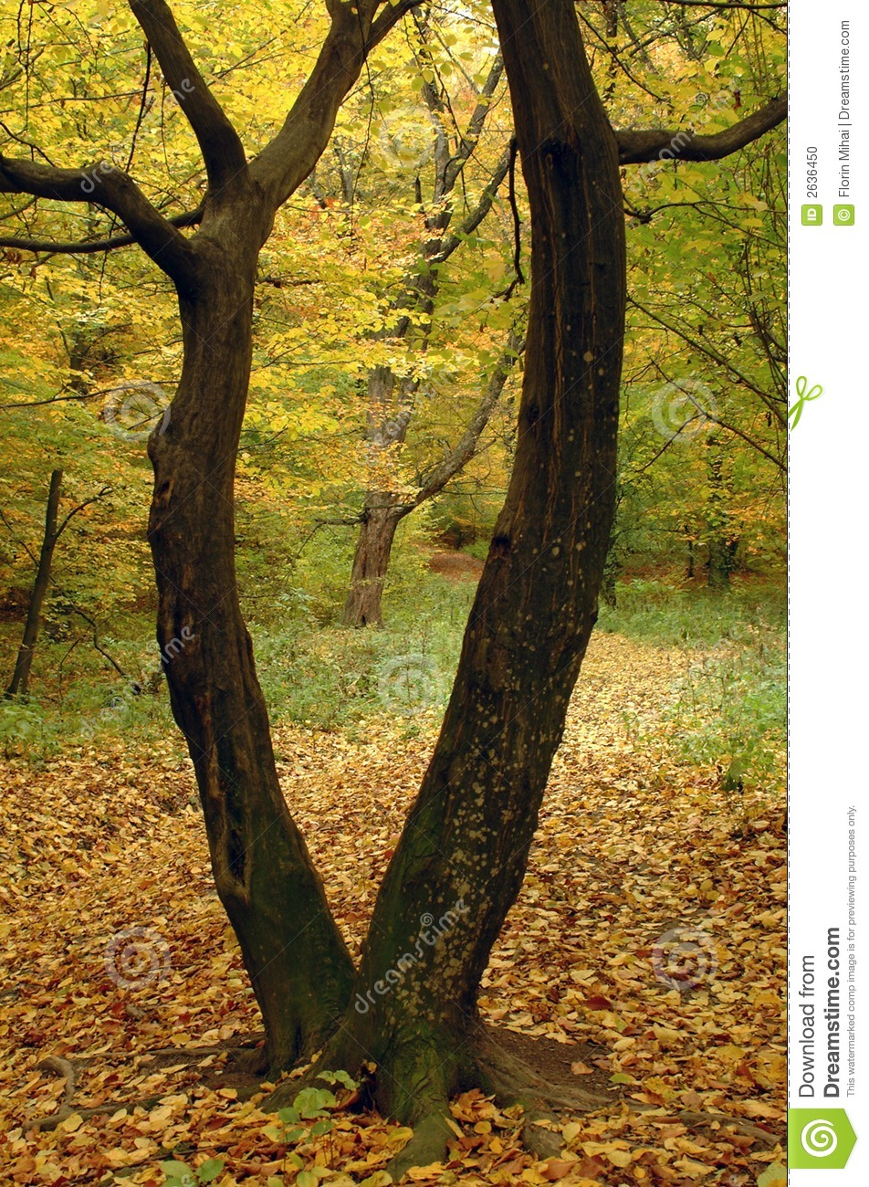 split body tree stock photo  image of path  romania