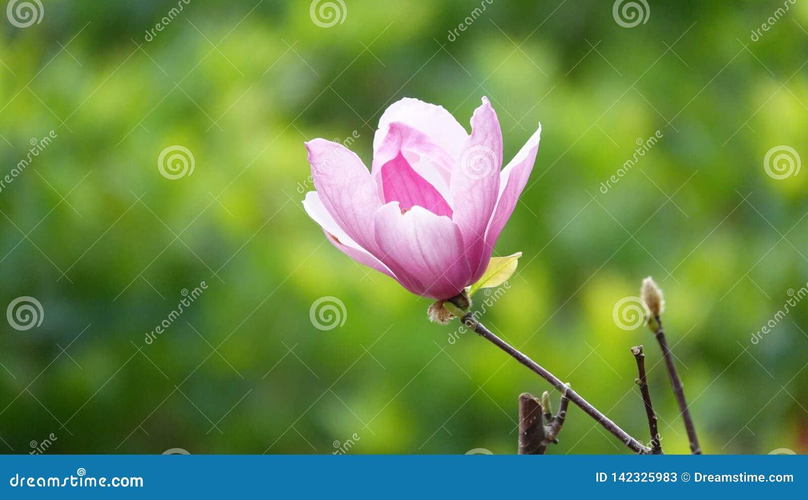 Spodeczek magnolia
