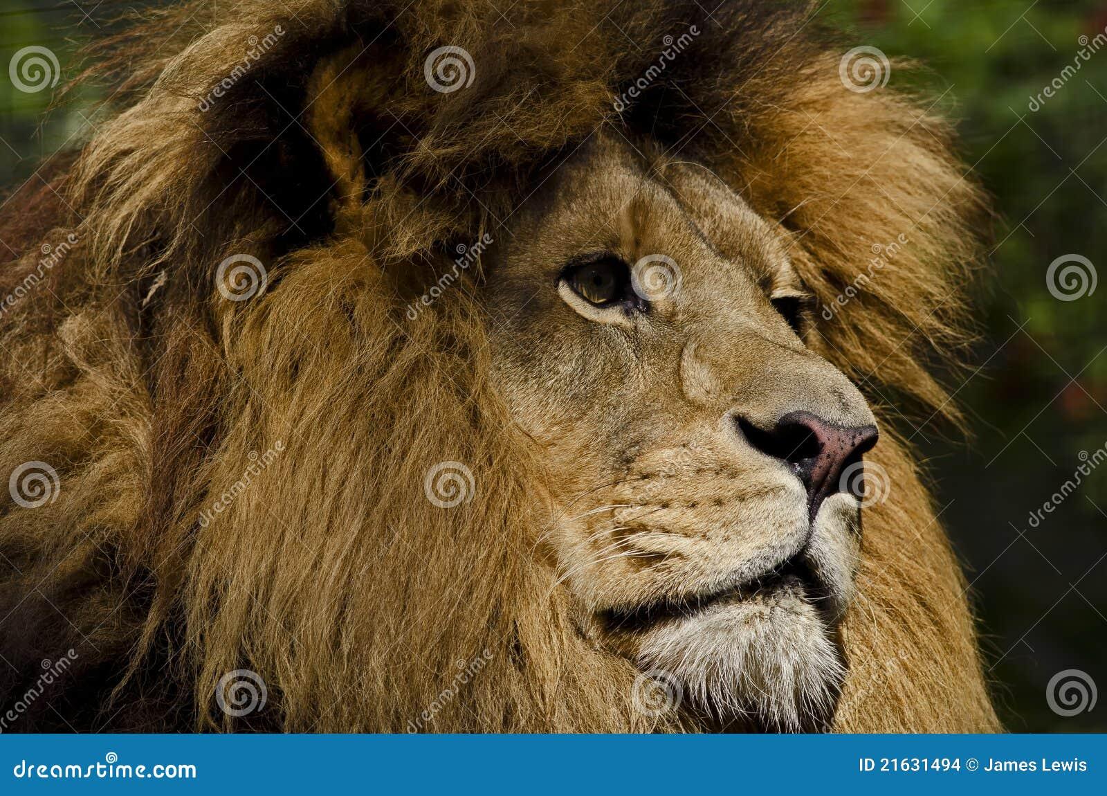 Spojrzenie lew