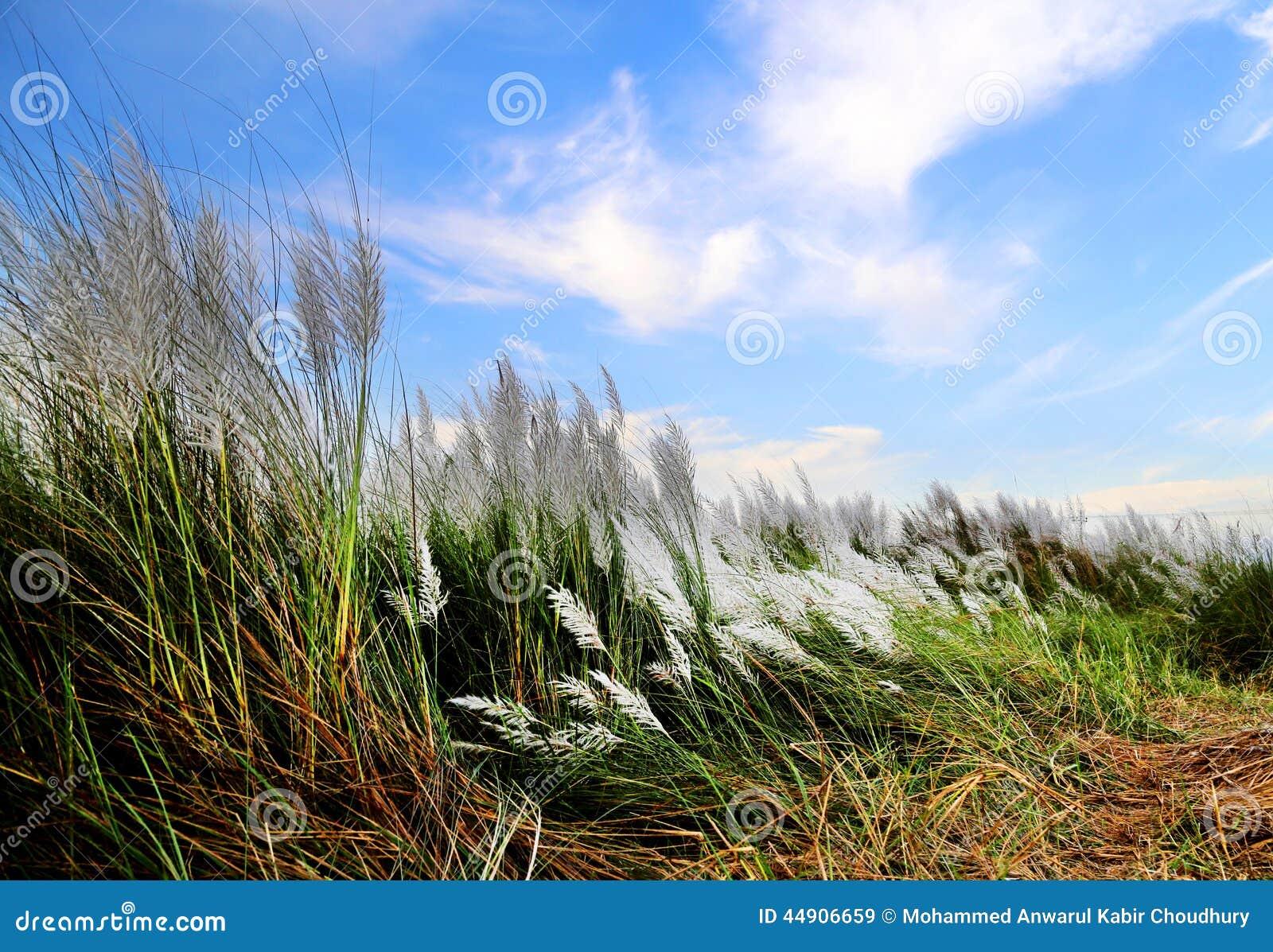 Spontaneum de saccharum ou herbe de Kans