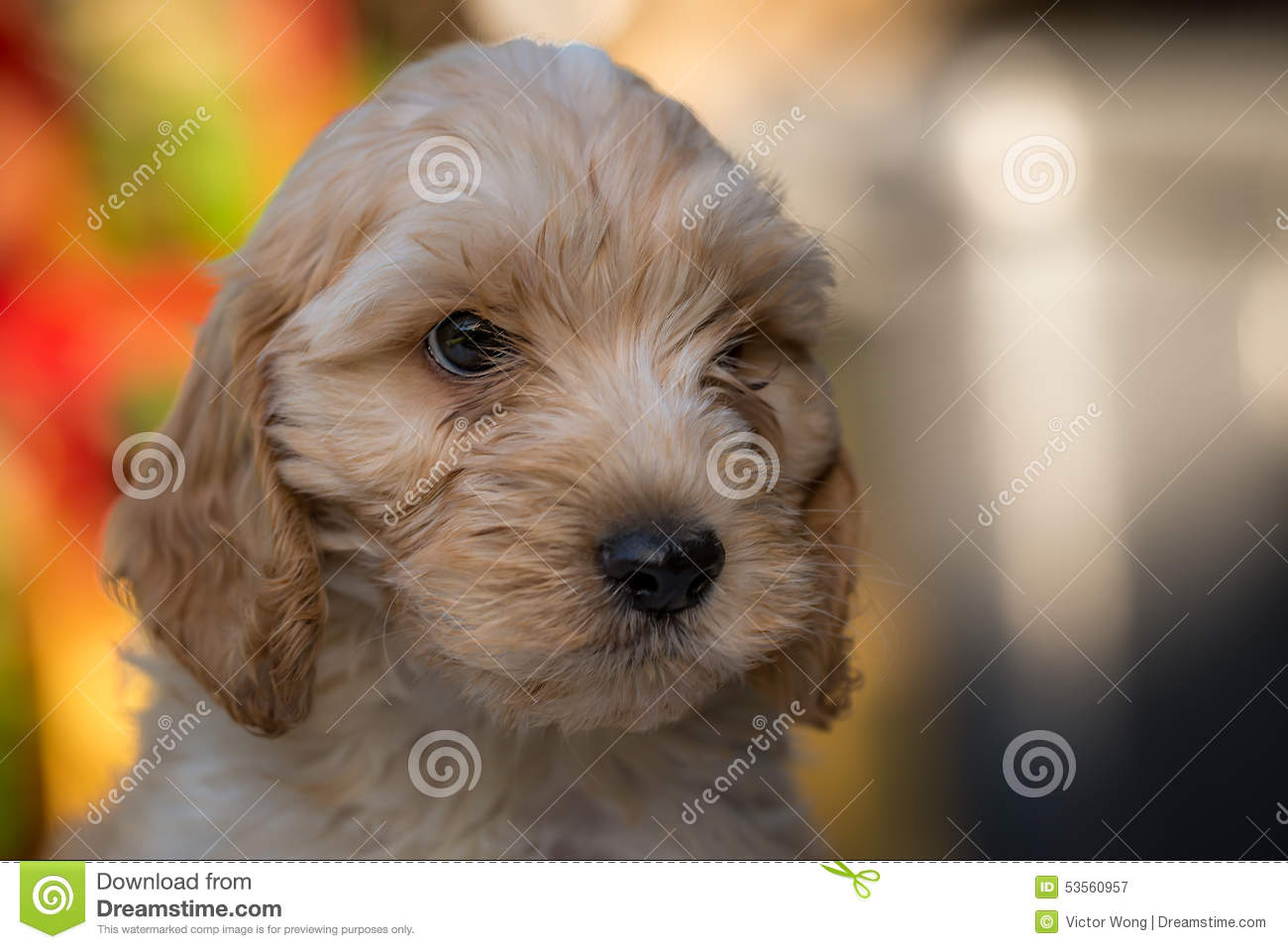 Spoodle Or Cockapoo Puppy Stock Image Image Of Shot 53560957