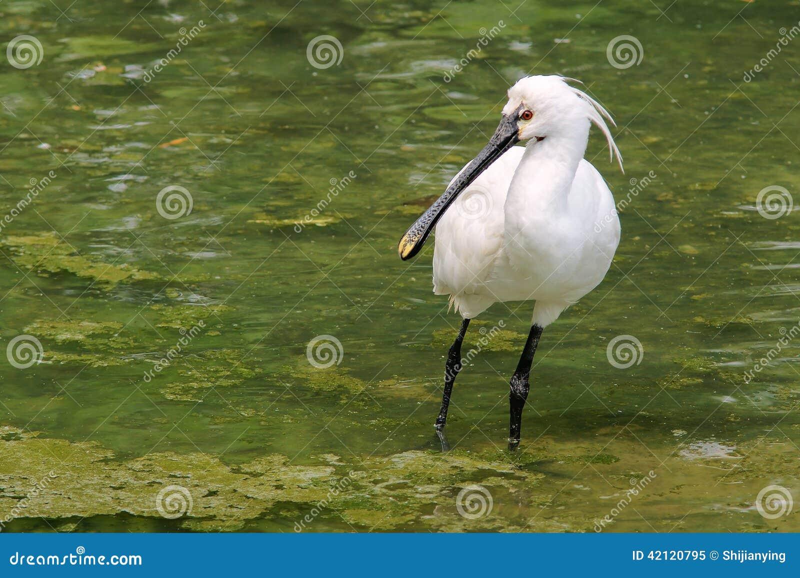Spoonbill Black-faced