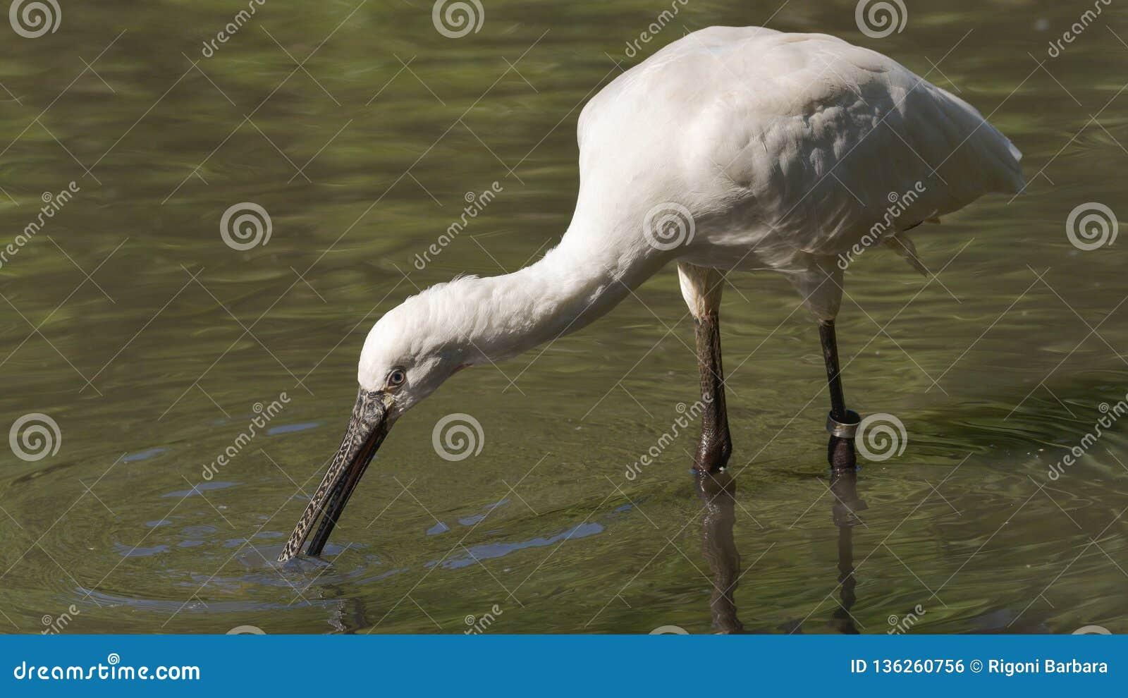 Spoonbill który szuka jedzenie w wodzie