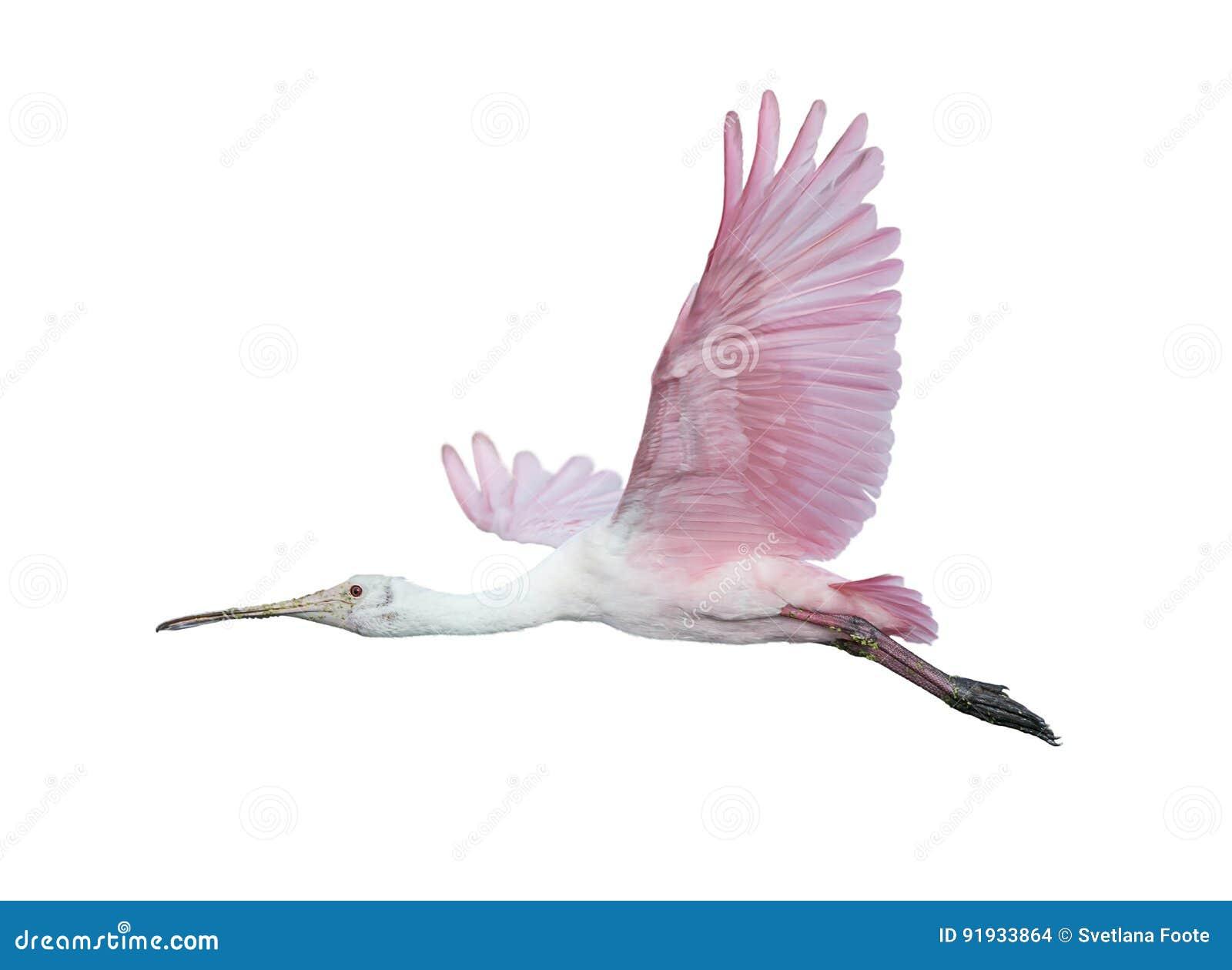 Spoonbill róseo no vôo