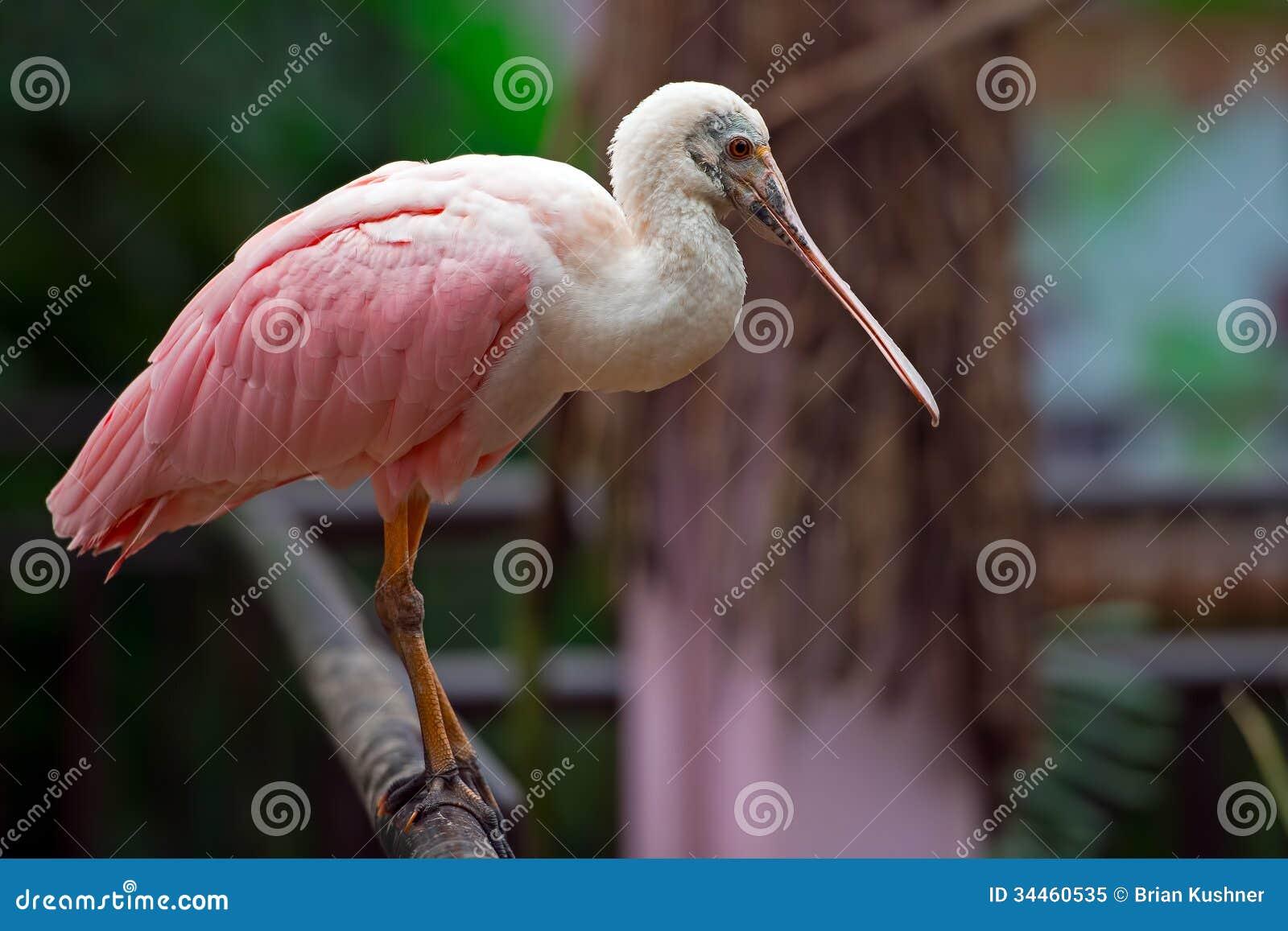 Spoonbill rosado