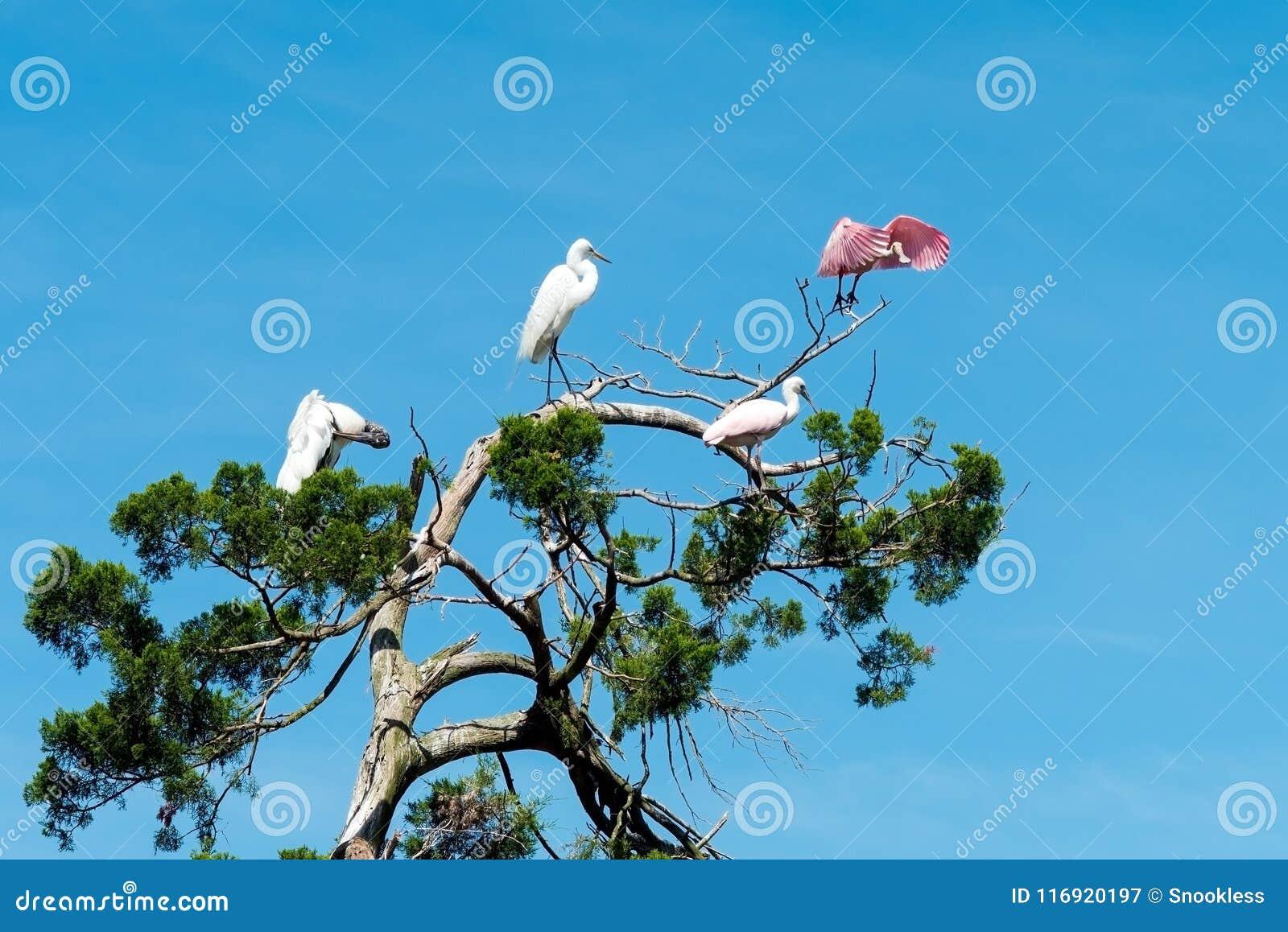 Spoonbill rosado que toma vuelo