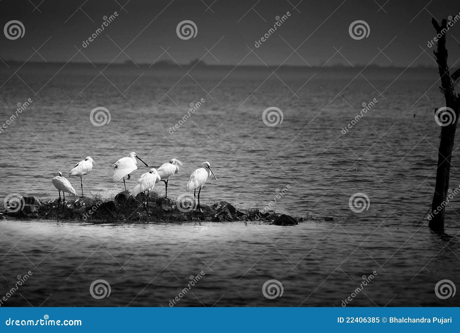 Spoonbills колонии