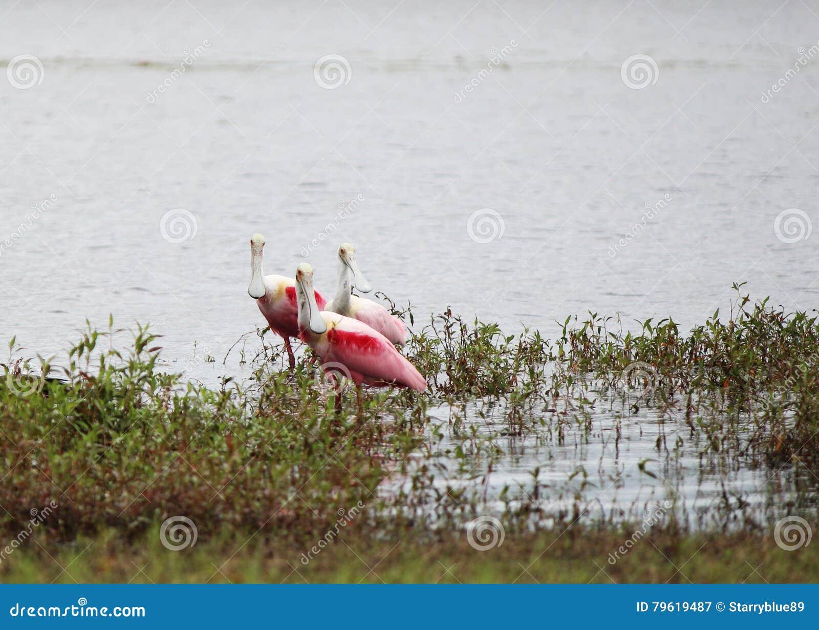 Spoonbills róseos no lago