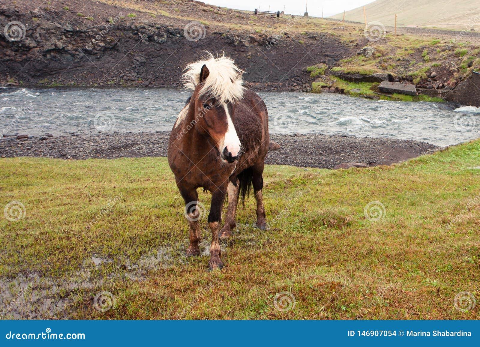 Sporco e cavallo selvaggio con una criniera bianca che pascono dal fiume