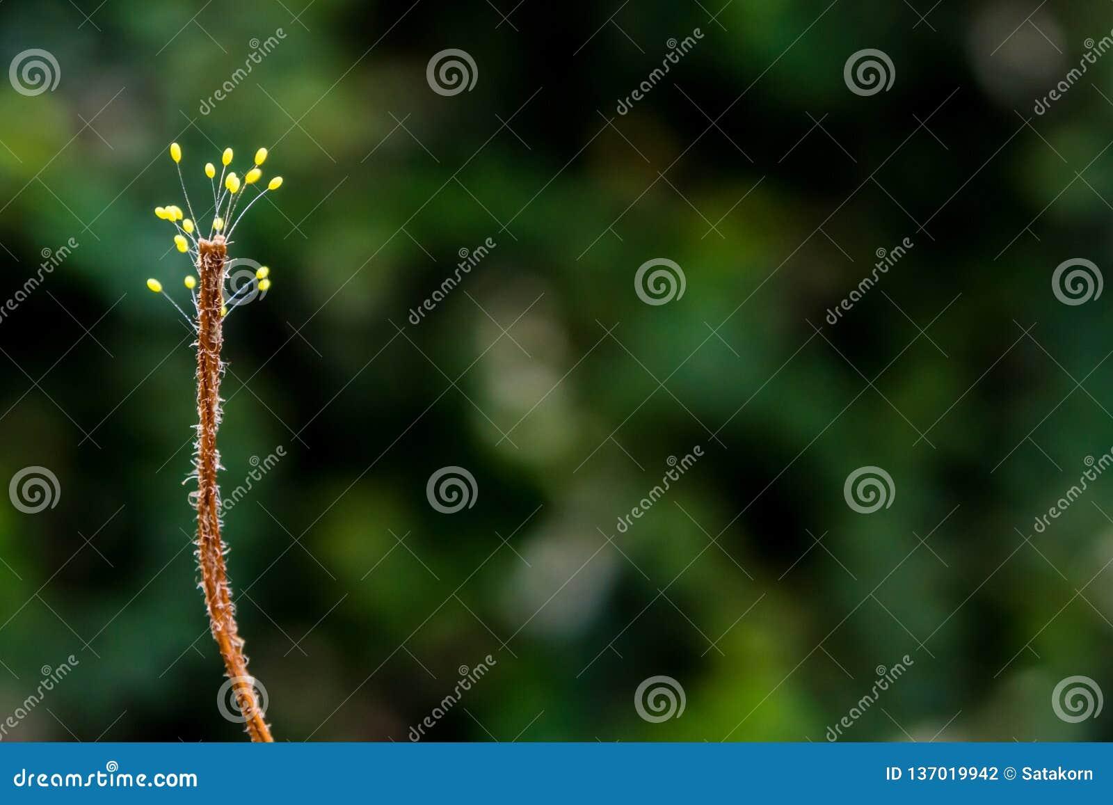 Sporophyte grzyb przy końcówką wysuszona świrzepa