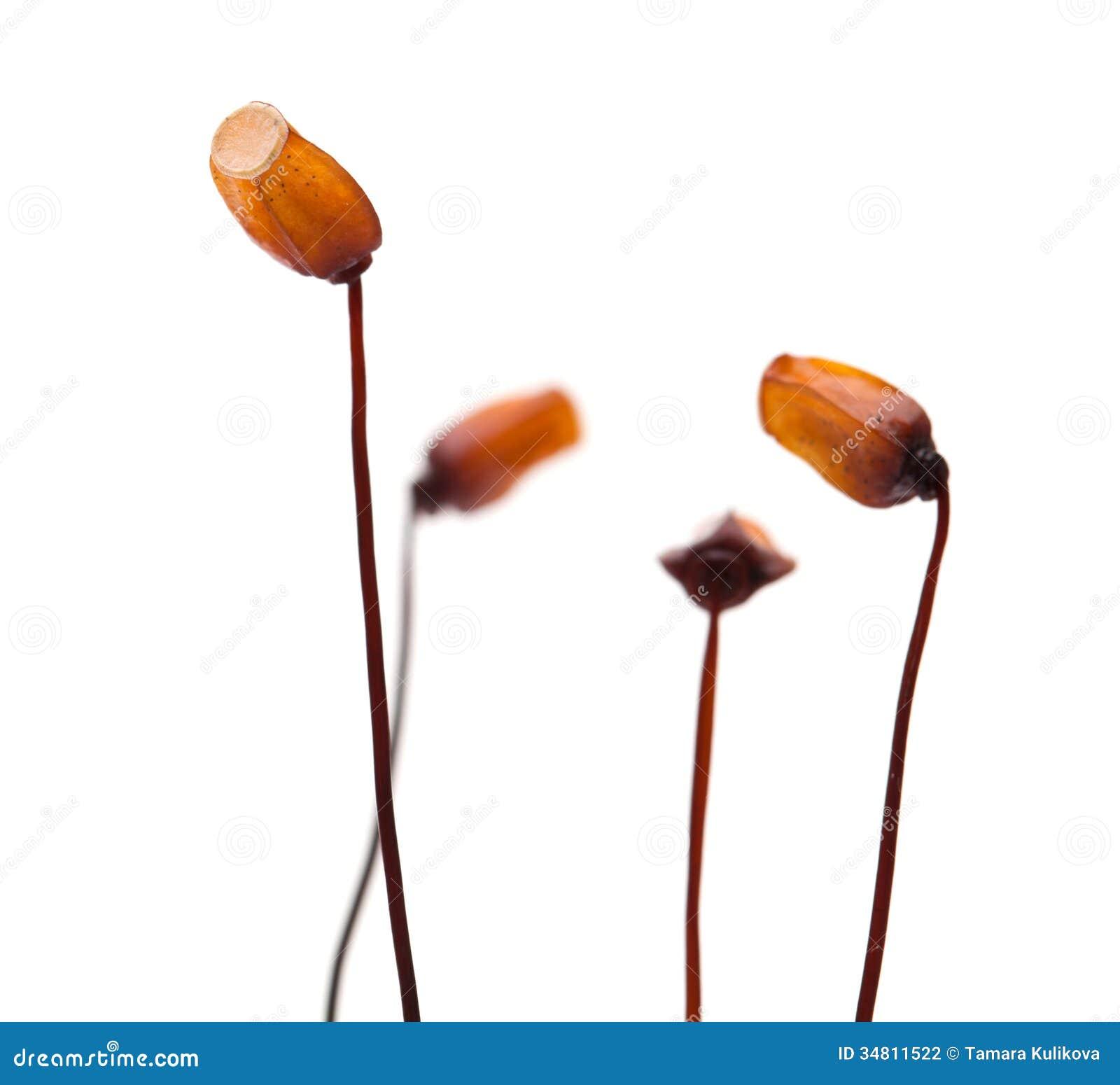 Sporophytes de mousse photographie stock image 34811522 for Photographie de stock