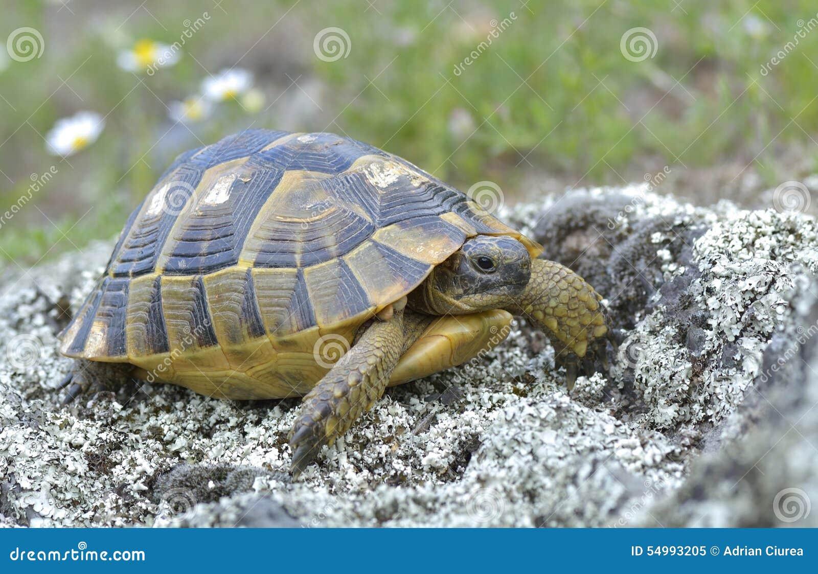 Sporra den thighed sköldpaddan