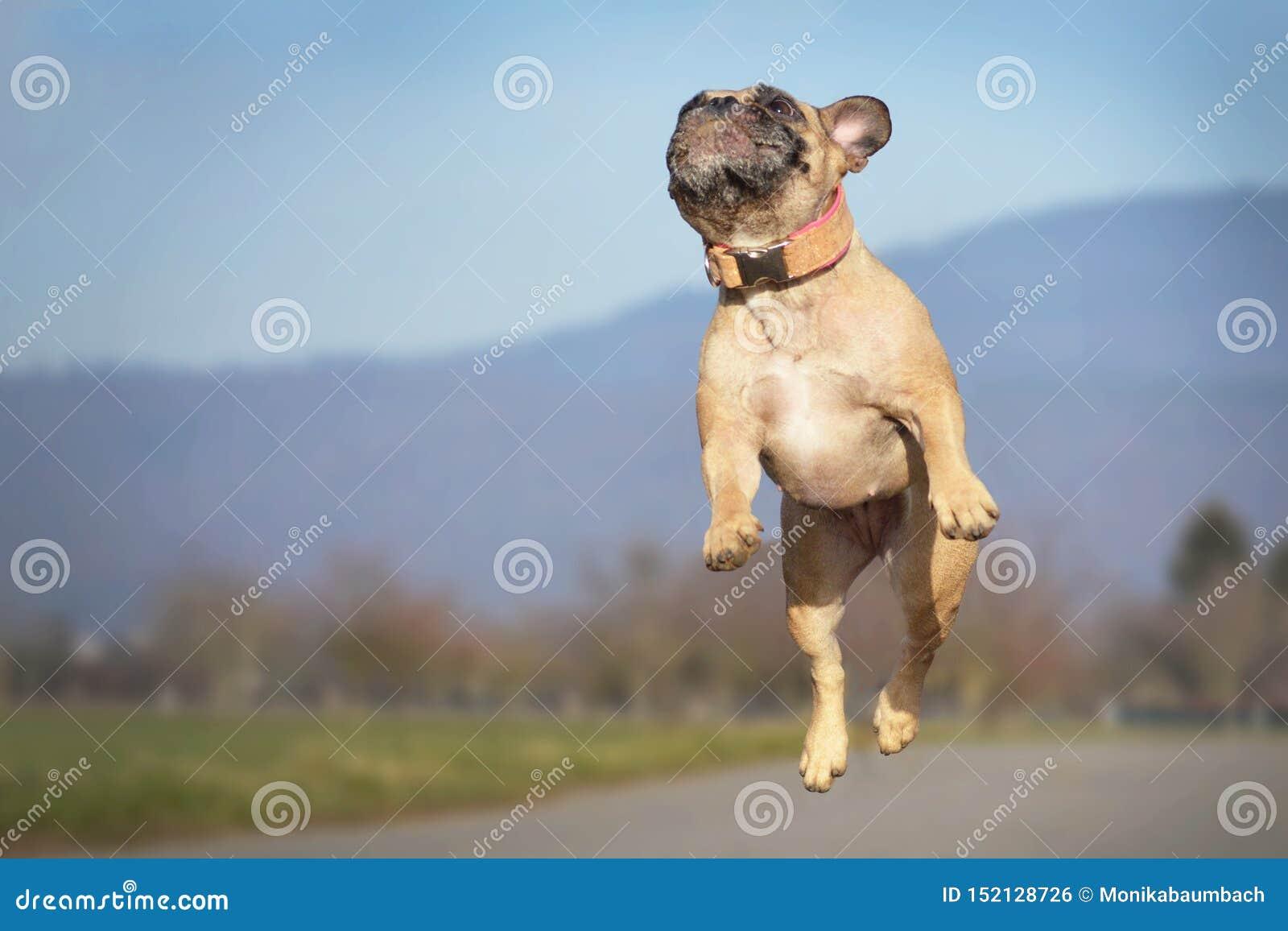 Sportowego małego źrebię Francuskiego buldoga psa skokowa wysokość w powietrzu