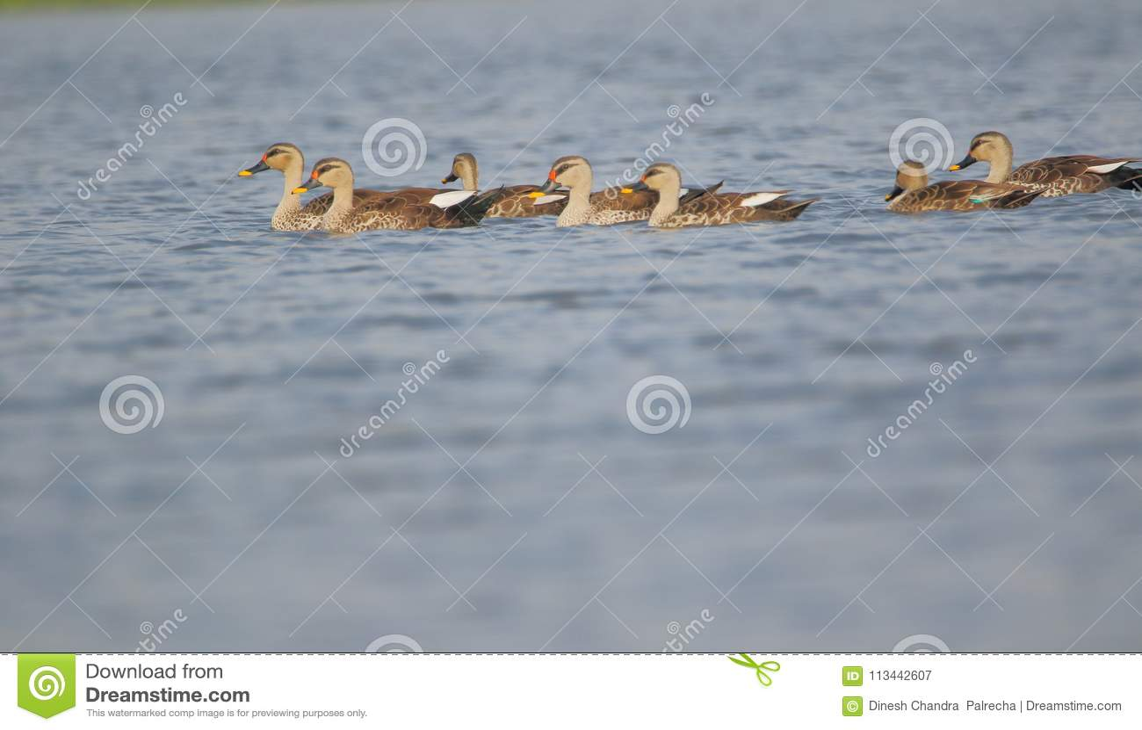 Spot billed duck family