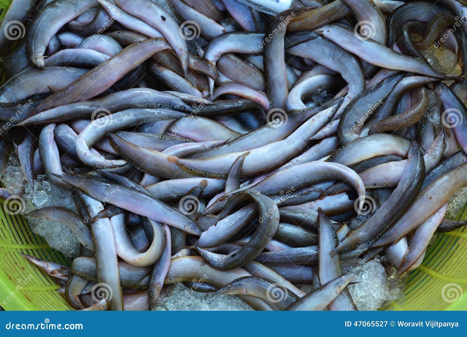 Spot Finned spiny eel in the market.
