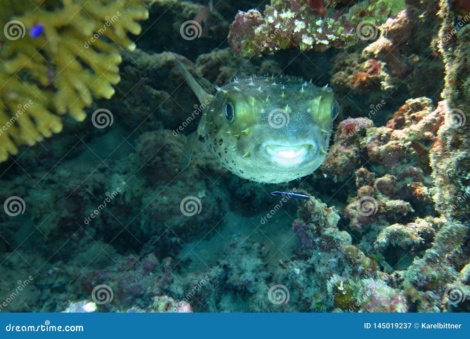Spotbase burrfish eller yellowspotted burrfish