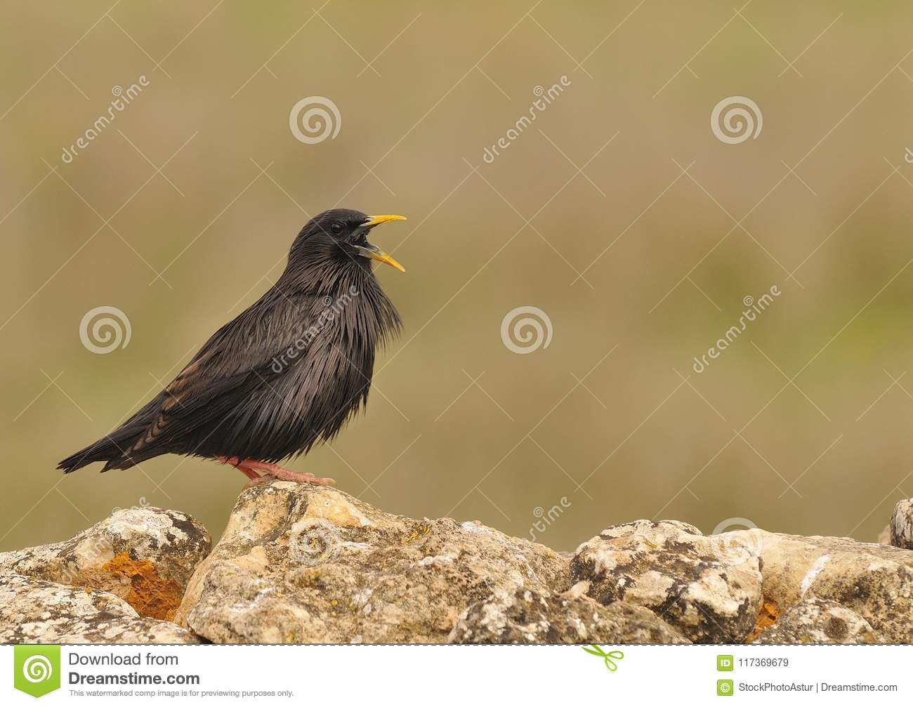 Spotless Starling Perched On A Stone Stock Image - Image of wildlife