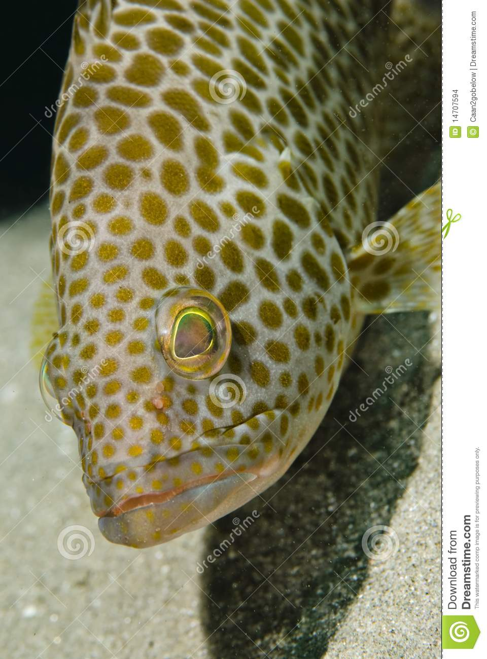 Spotted Areolate grouper, headshot.