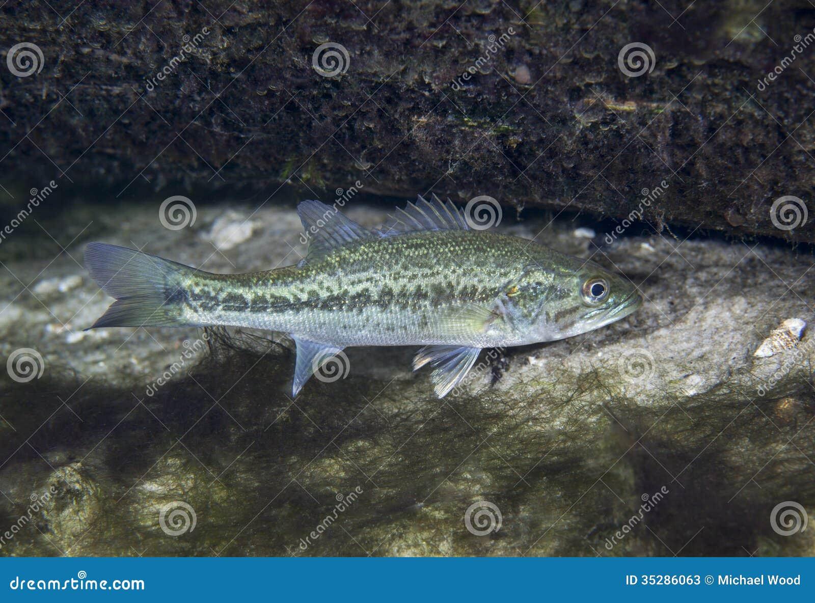 Spotted Bass Near Log