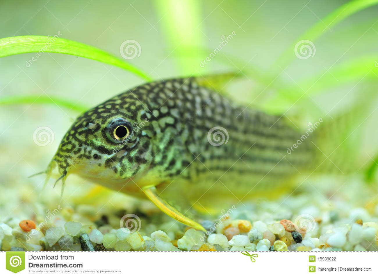 Spotted Catfish For Aquariums Stock Photography - Image: 15939022