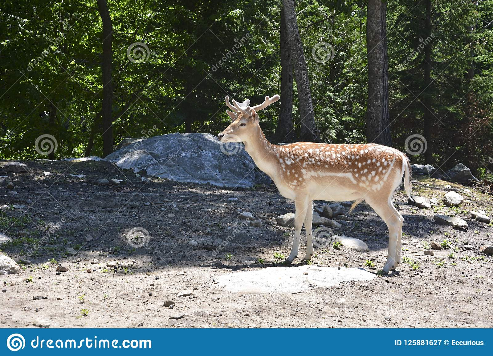 Spotted deer in the forest