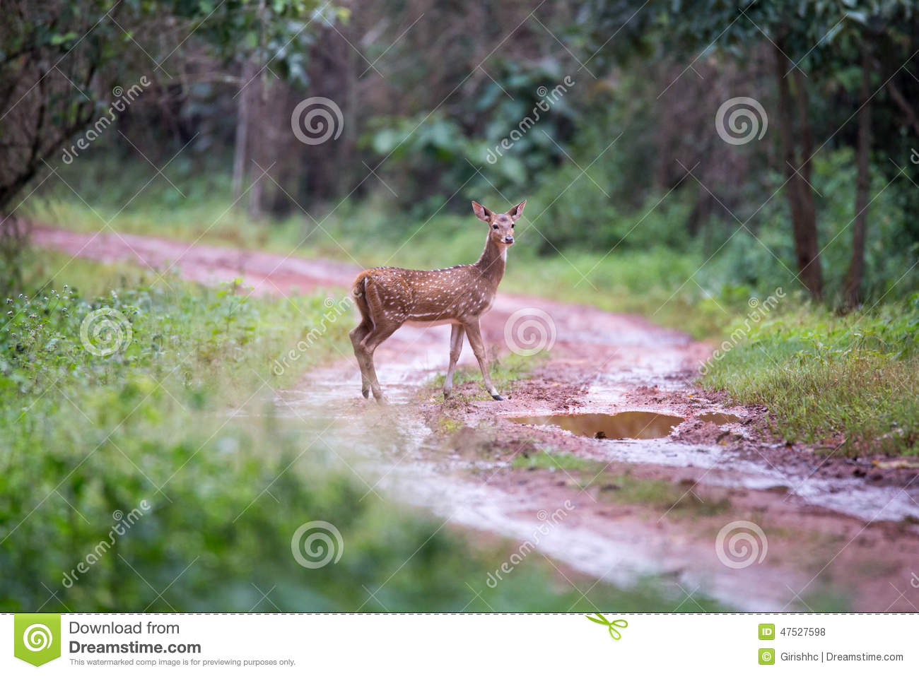 Spotted Deer Faun In Habitat Stock Photo Image Of Ecosystem