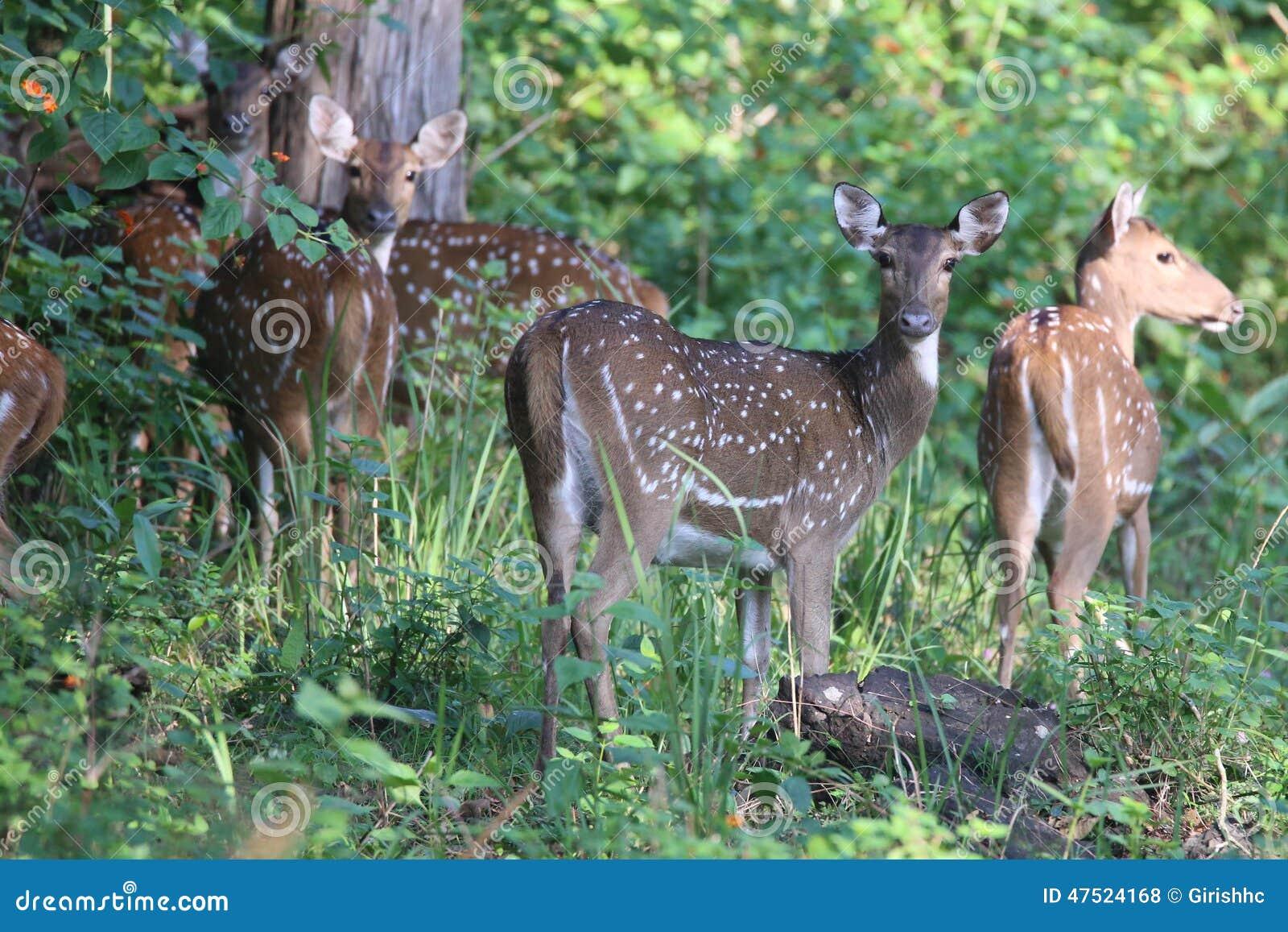 Spotted Deer Herd In Habitat Stock Photo Image Of Protected Deer