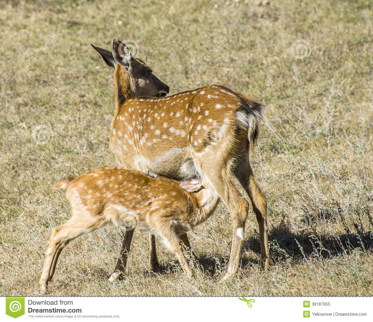 Spotted Deer Mother And Her Baby Stock Image - Image: 36187955
