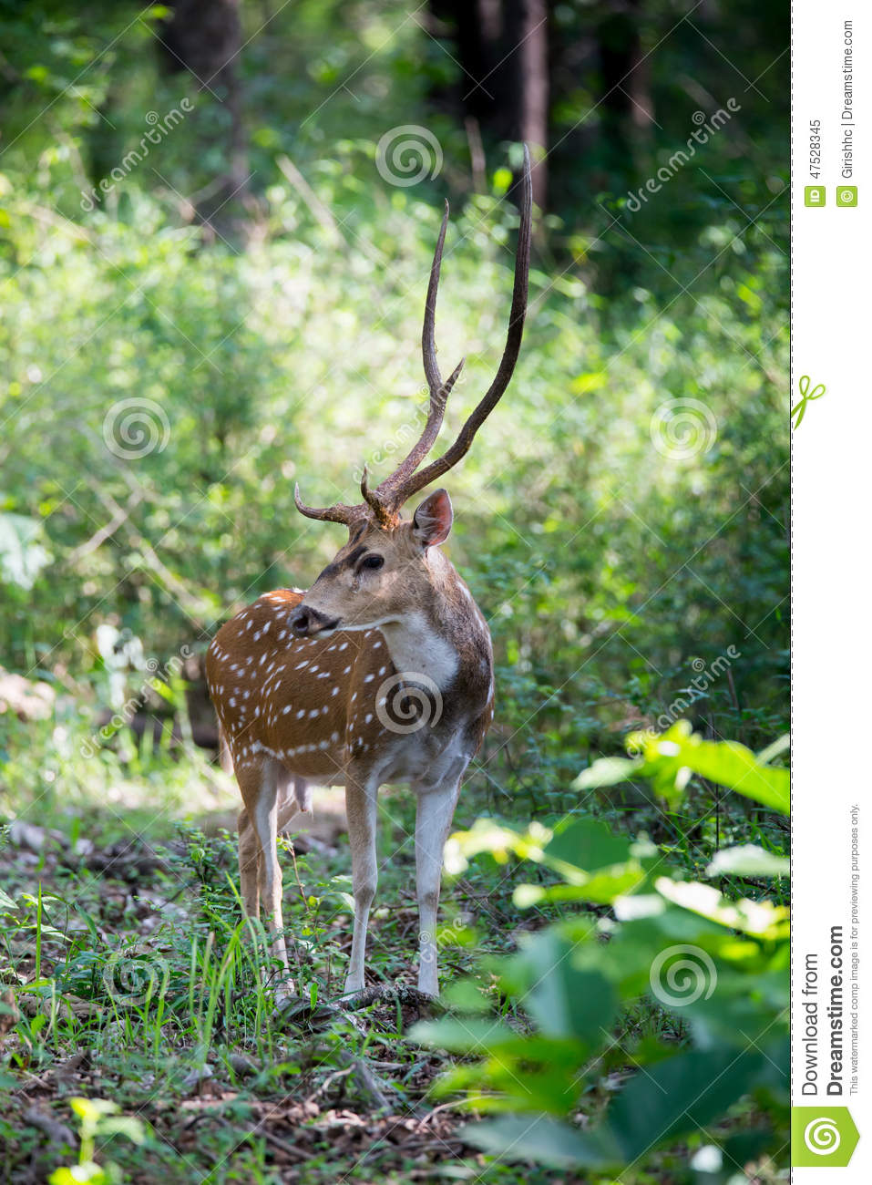Spotted Deer Stag In Habitat Stock Image Image Of 2500 Canon