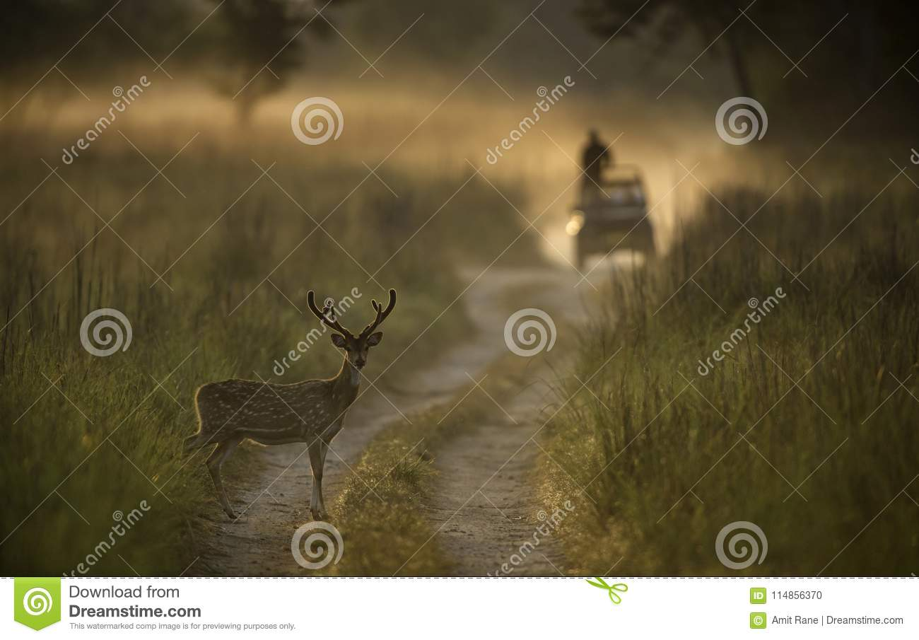Spotted deer stag and safari vehicle in Dhikala