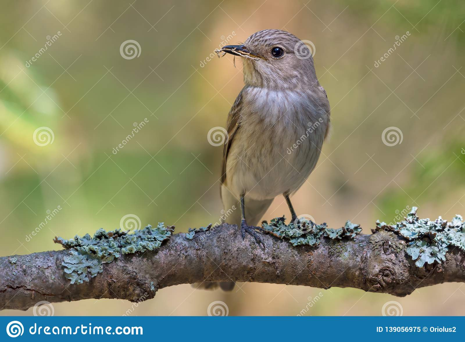 Spotted Flycatcher perched on a thick lichen covered branch in sweet light