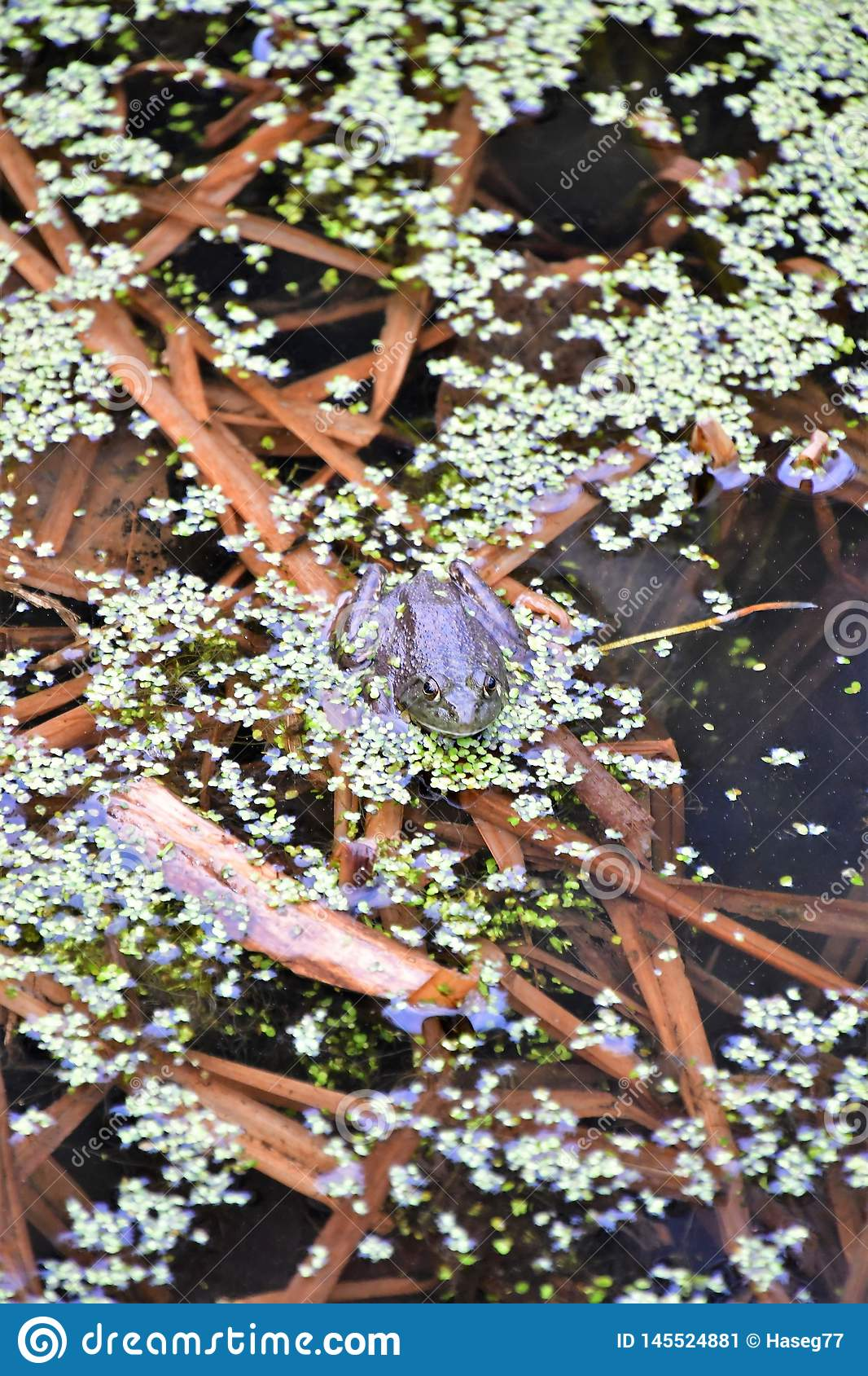 Columbia Spotted Frog.