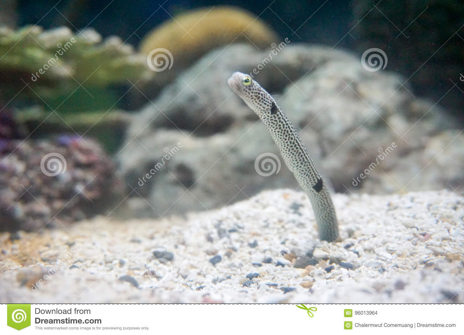 Spotted garden eel. stock photo. Image of aquarium, black