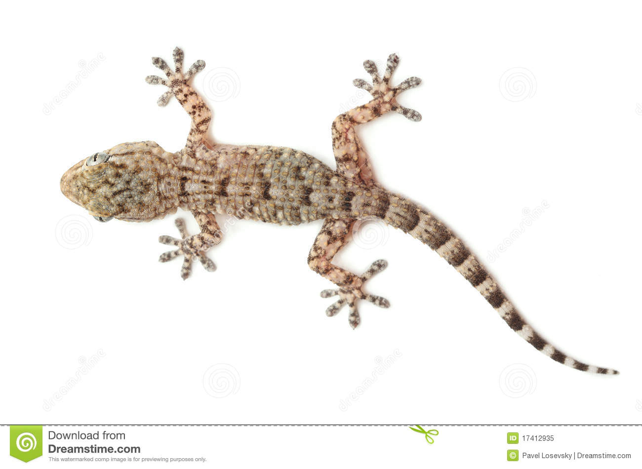 Spotted gecko reptile isolated on white