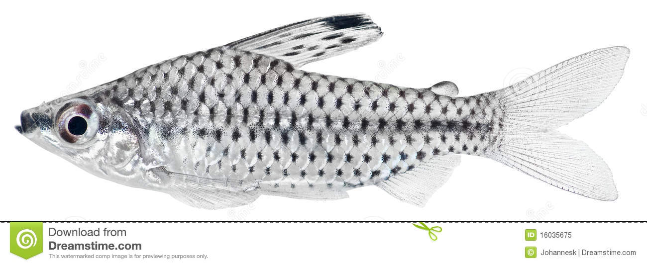 Spotted Headstander fish isolated in white background. Chilodus ...