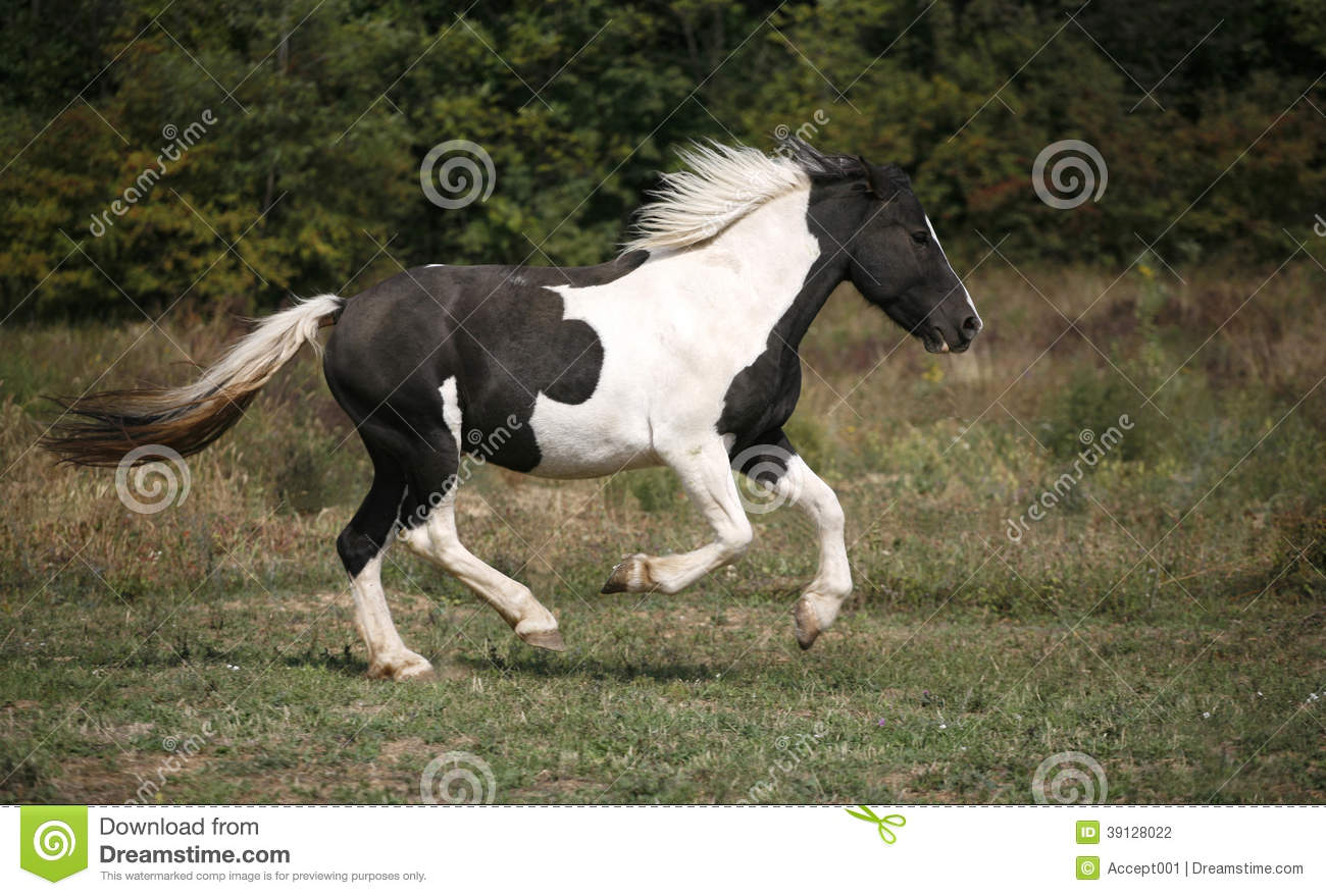 Spotted Horse Galloping In The Field Stock Photo Image Of Life Landscape 39128022