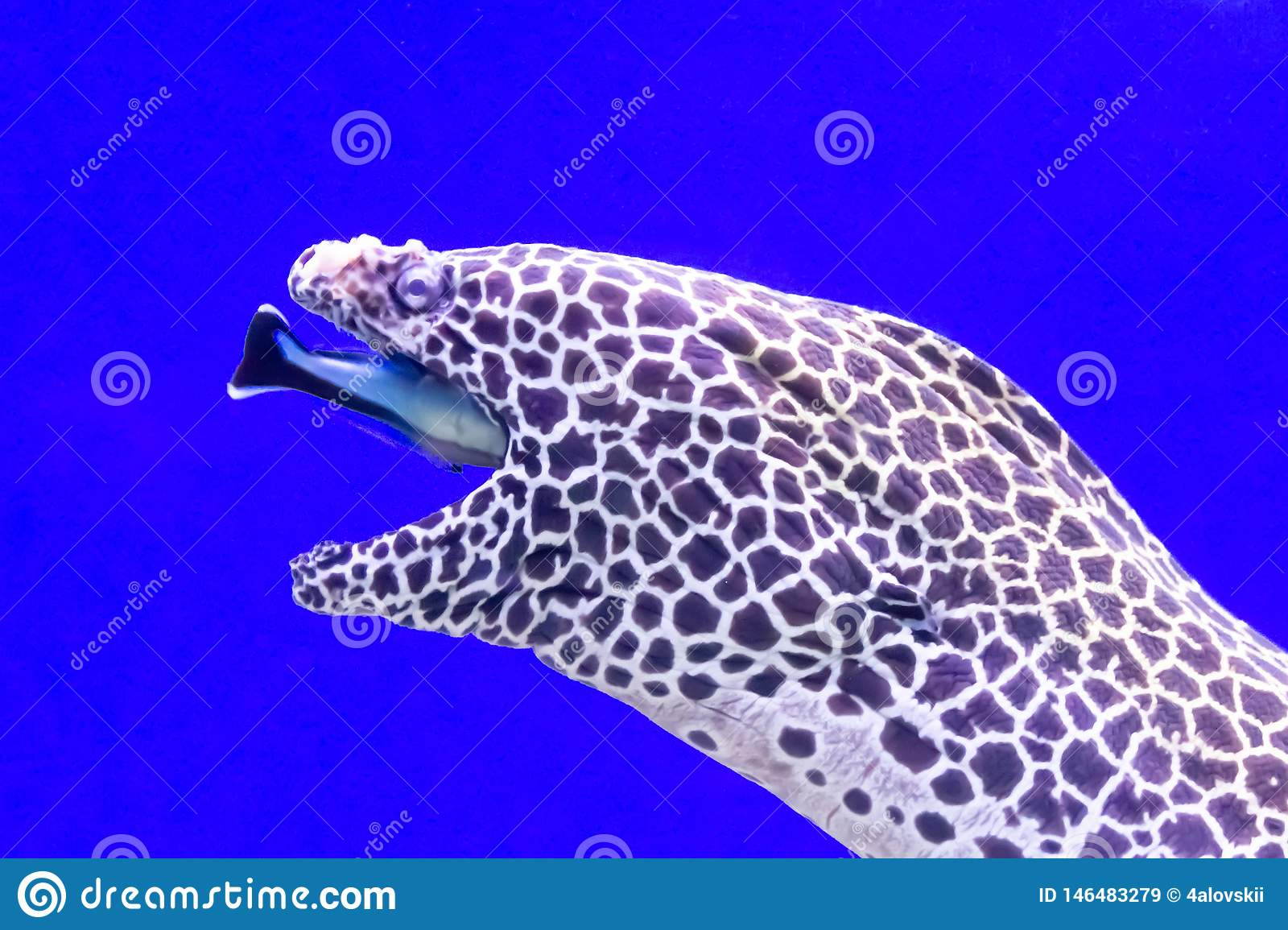 Spotted moray eel at the depth of the oceanarium