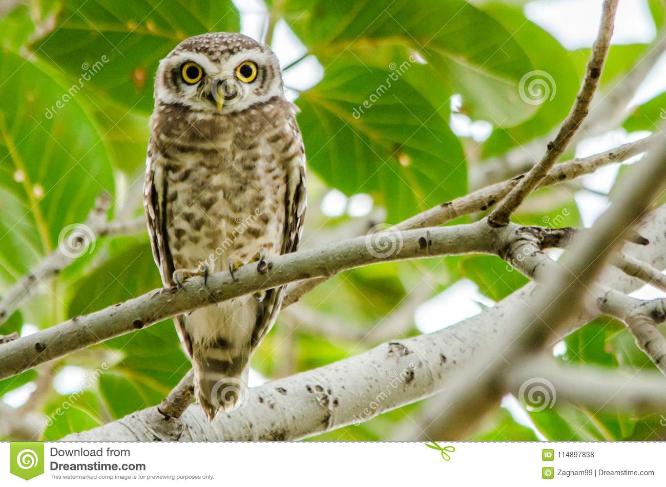 Spotted Owlet - Birds of Pakistan