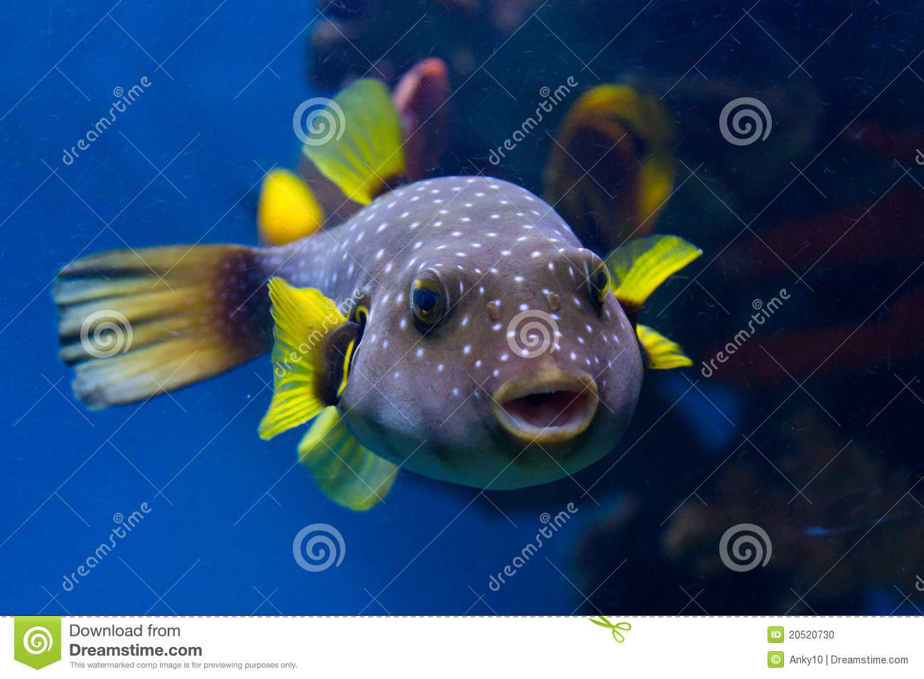 Spotted Puffer Fish Stock Photo - Image: 20520730