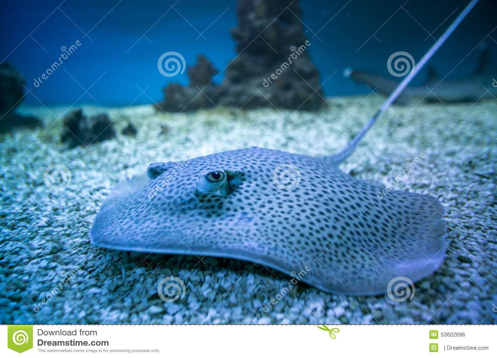 Spotted stingray fish in aquarium stock photo image for Stingray fish tank