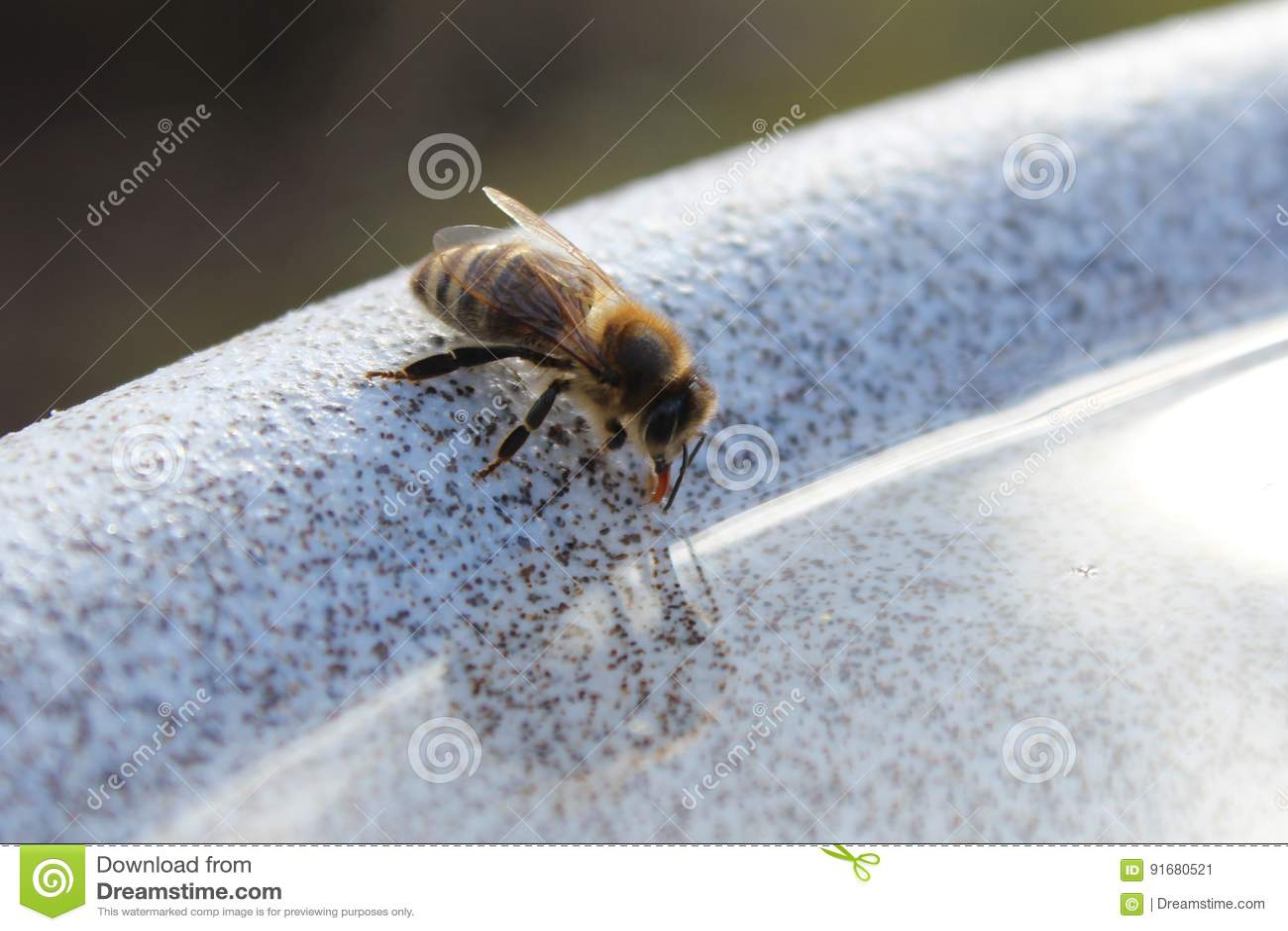 Spragniona pszczoła pije od wodnego pucharu