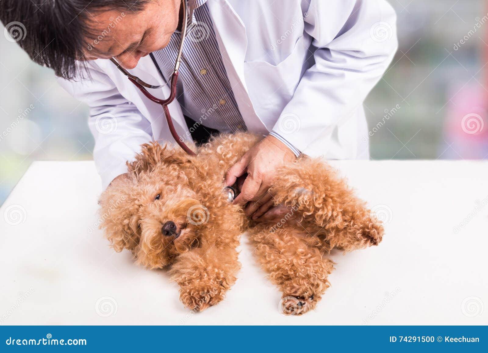 Sprawdza lekarkę egzamininuje ślicznego pudla psa z stetoskopem przy kliniką