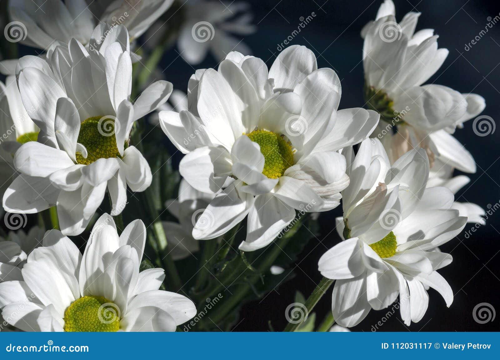 Few Beautiful White Spray Chrysanthemum Flowers Macro Stock Image
